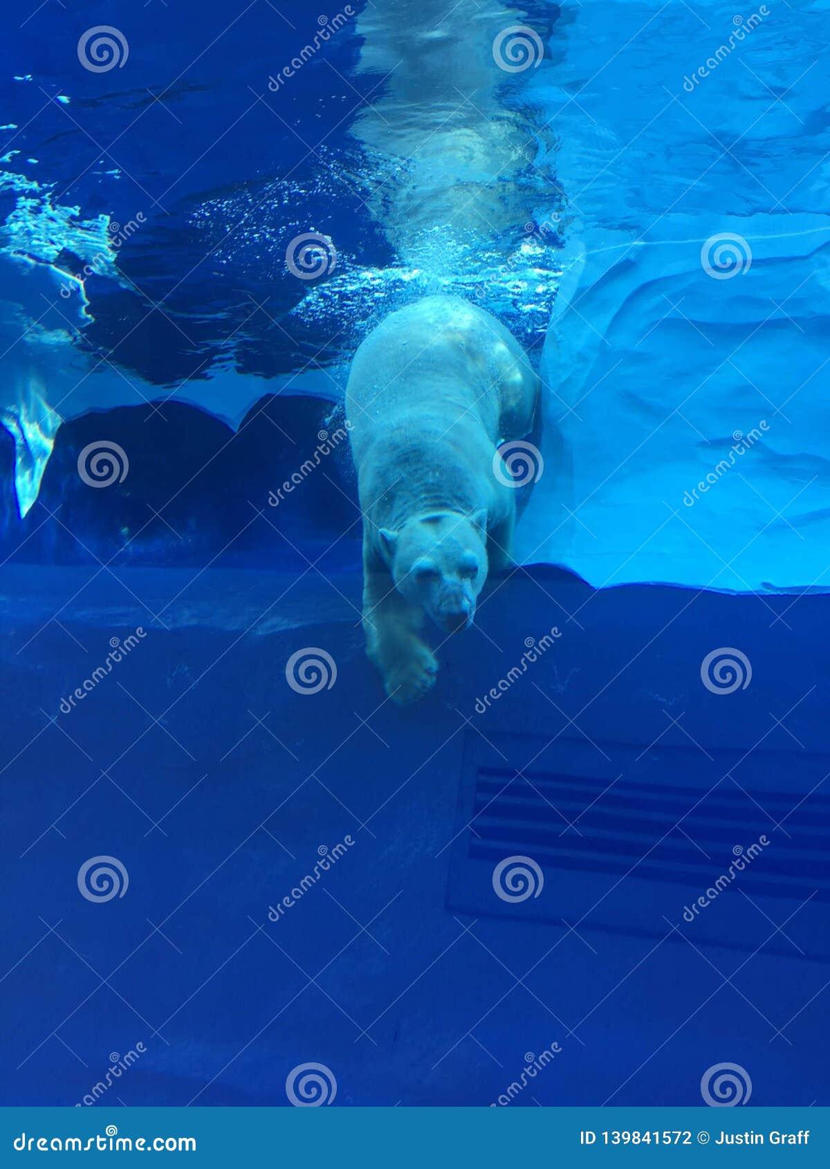 Полярный медведь плавая в большом бассейне как океан с айсбергами