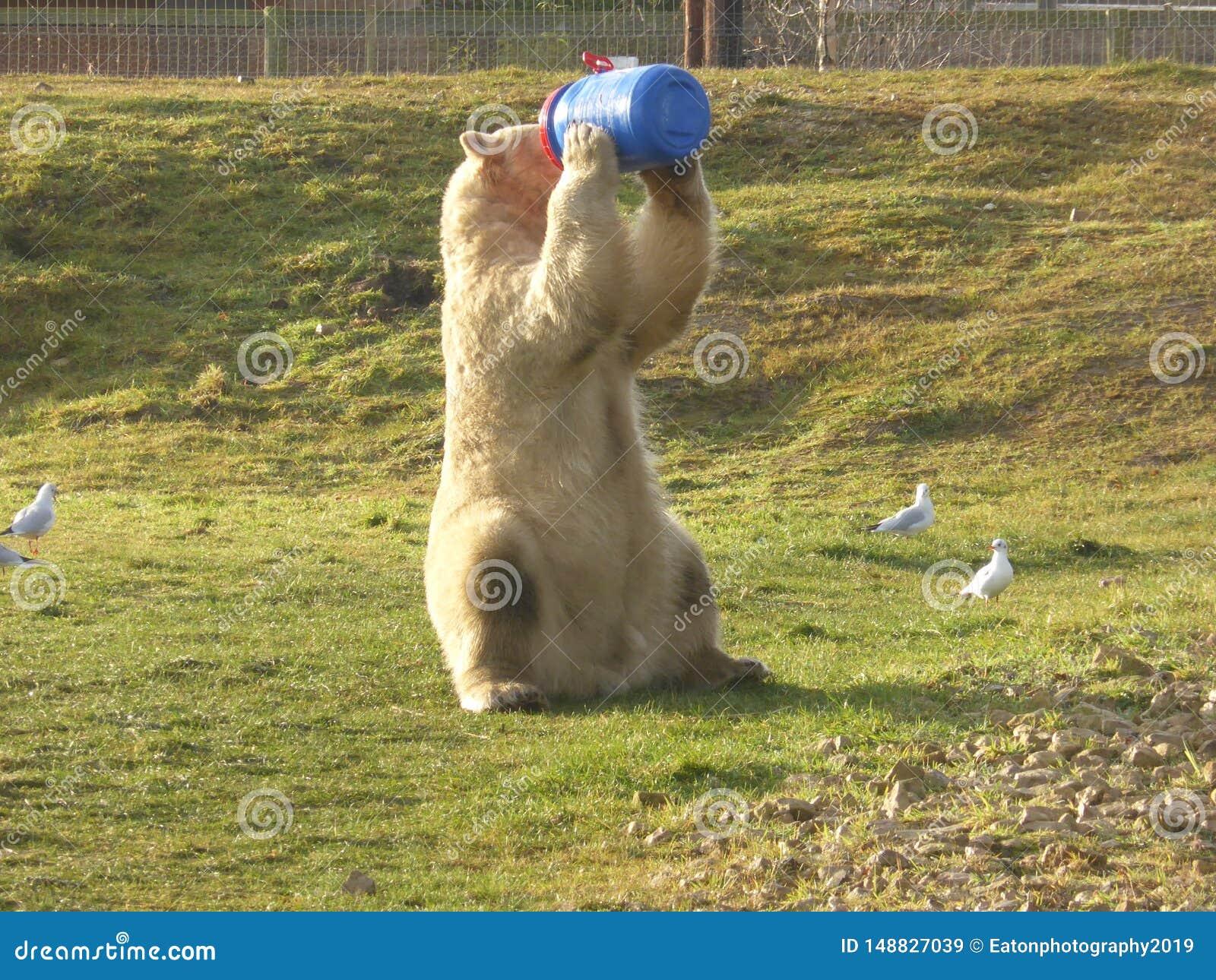 Полярный медведь смотря вне на мире