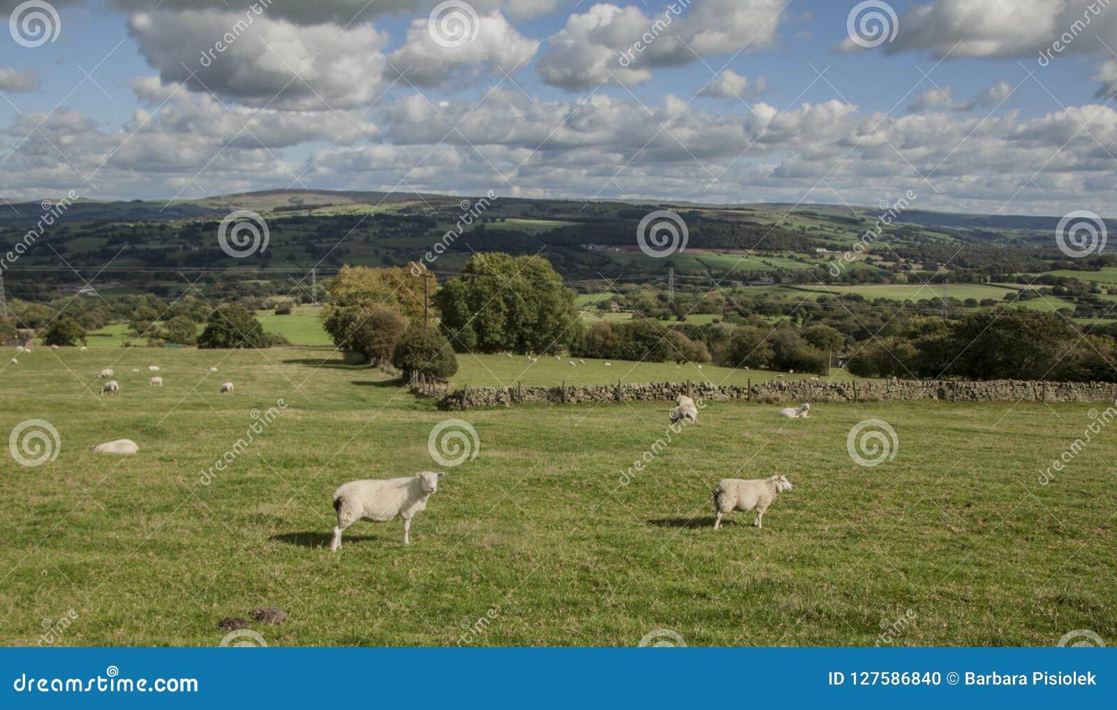 Поля и луга и овцы - лук-порей, Англия