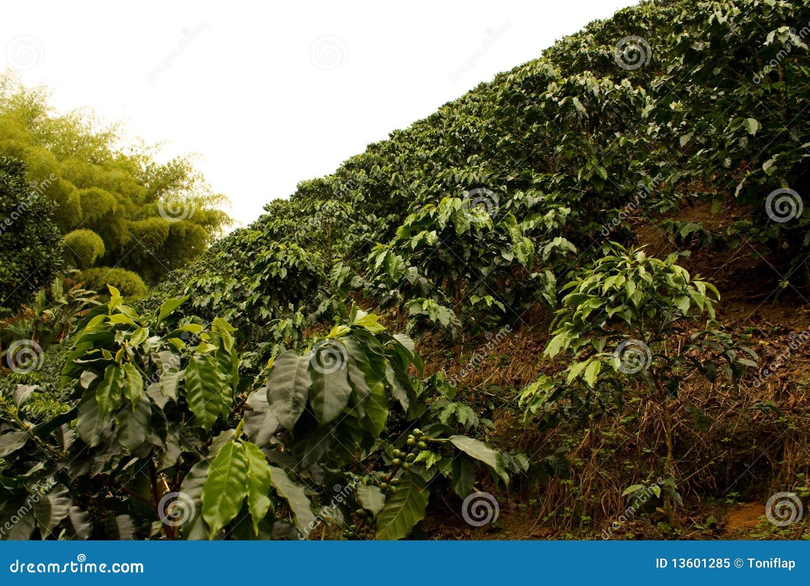 поля Колумбии кофе