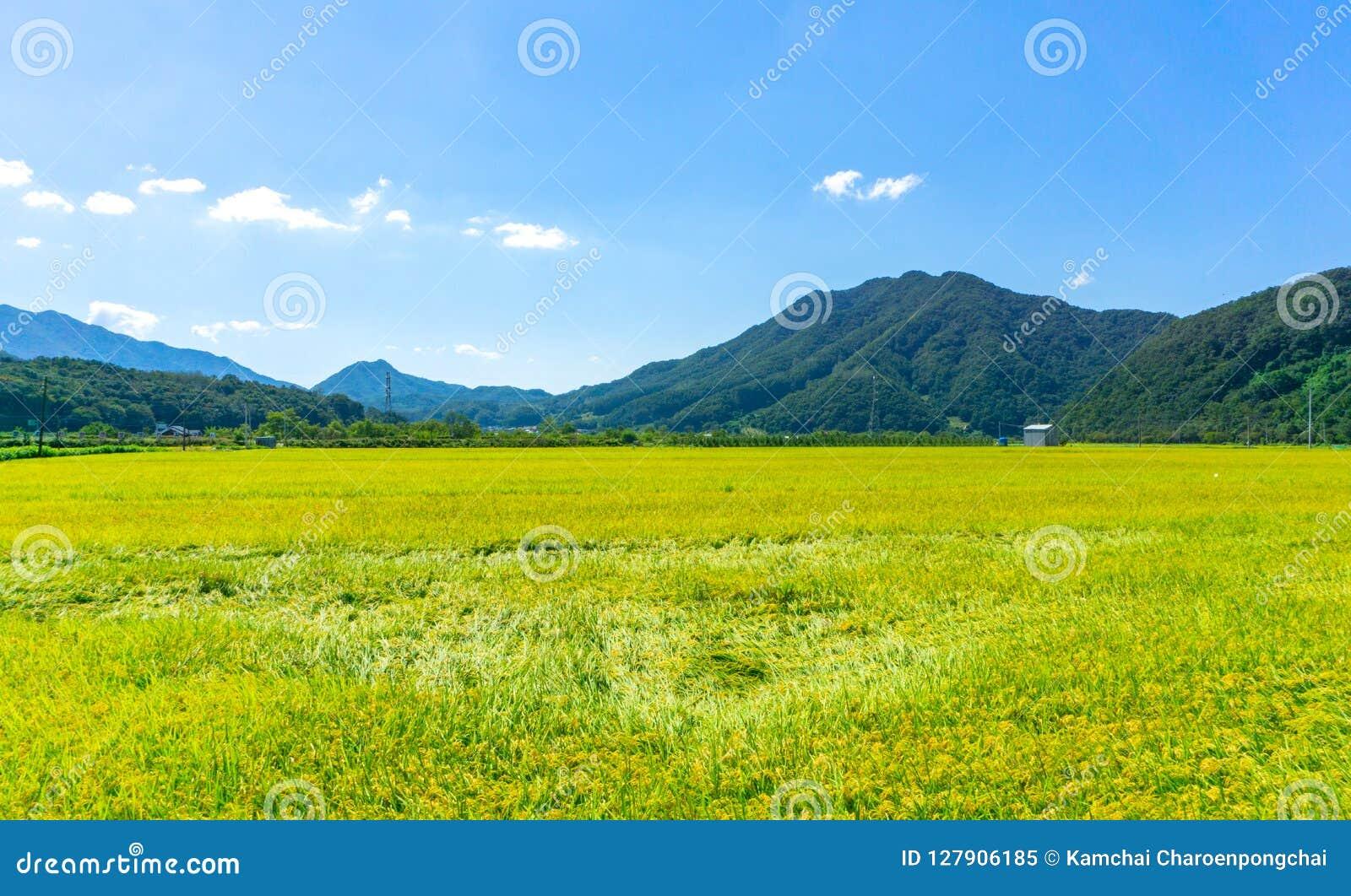 Поля рисовых полей в городской местности вокруг централи Южной Кореи с горой