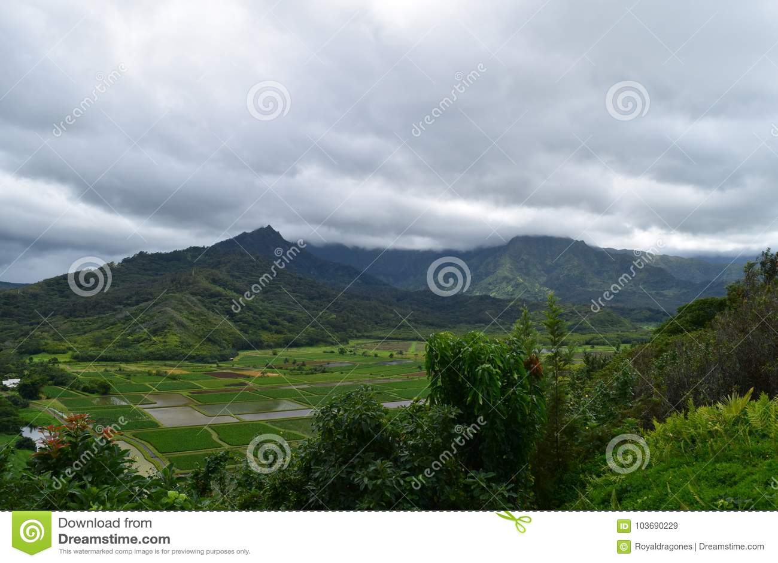 Поля таро долины Hanalei в Кауаи Гаваи
