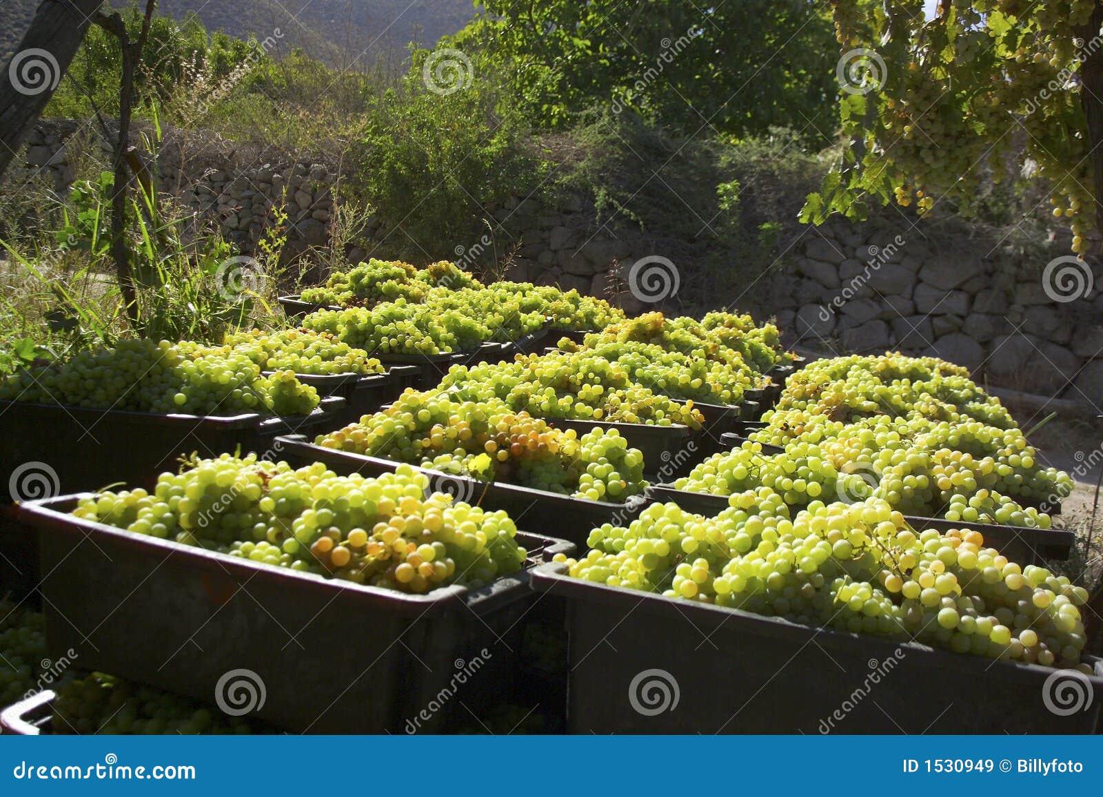помадка хлебоуборки виноградины