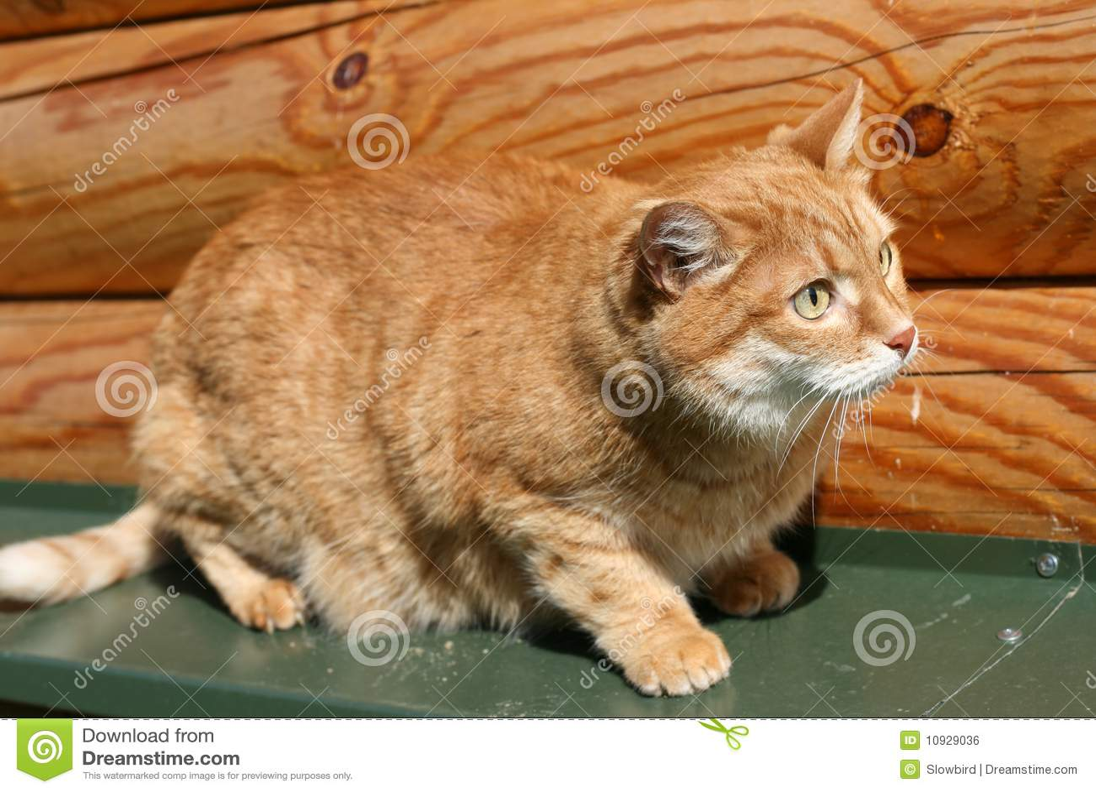 помеец кота