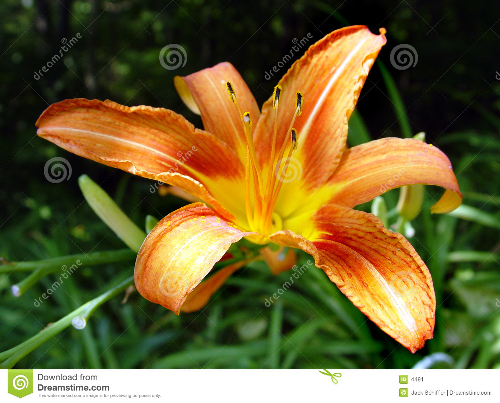 помеец лилии