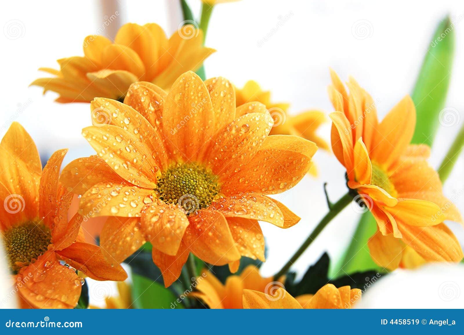 помеец хризантемы