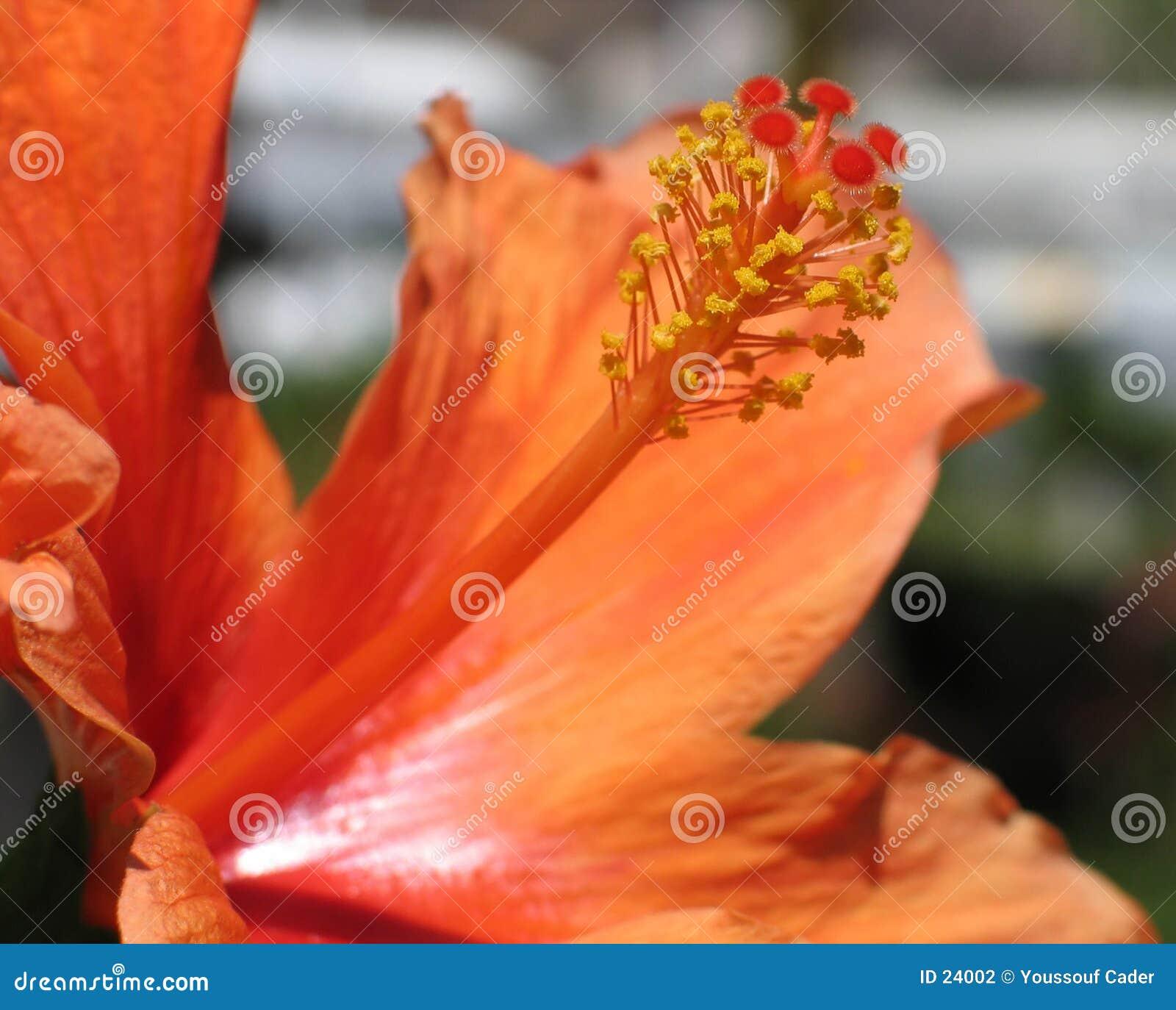 помеец hibiscus