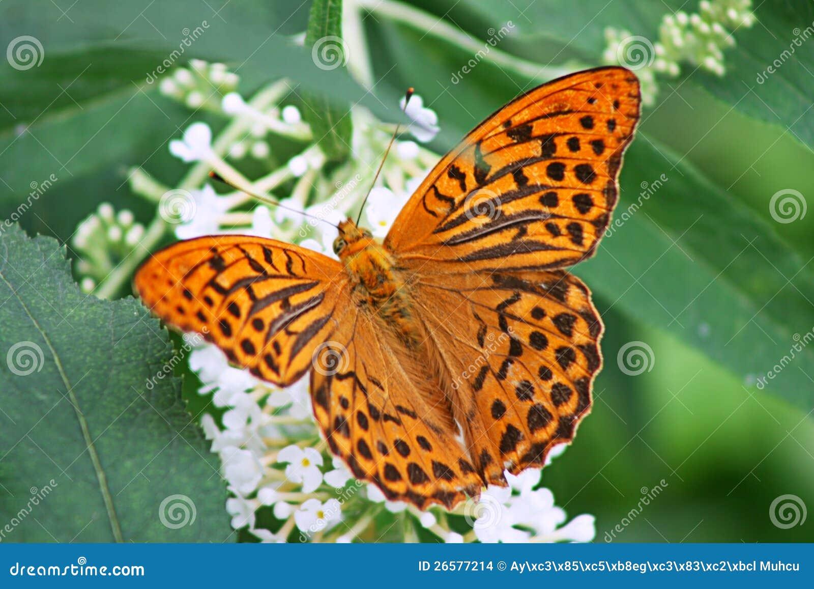 Померанцовая бабочка