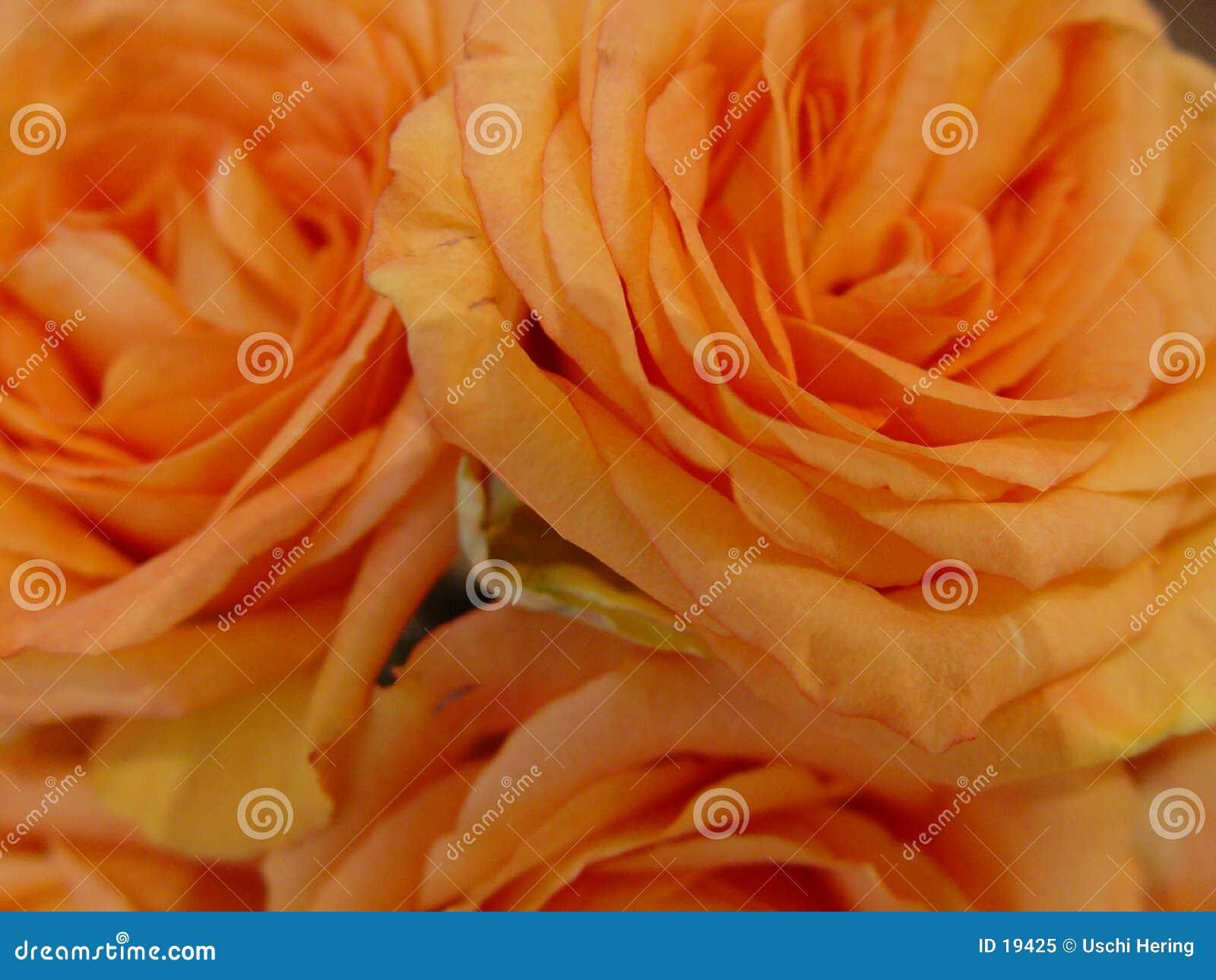 померанцовые розы
