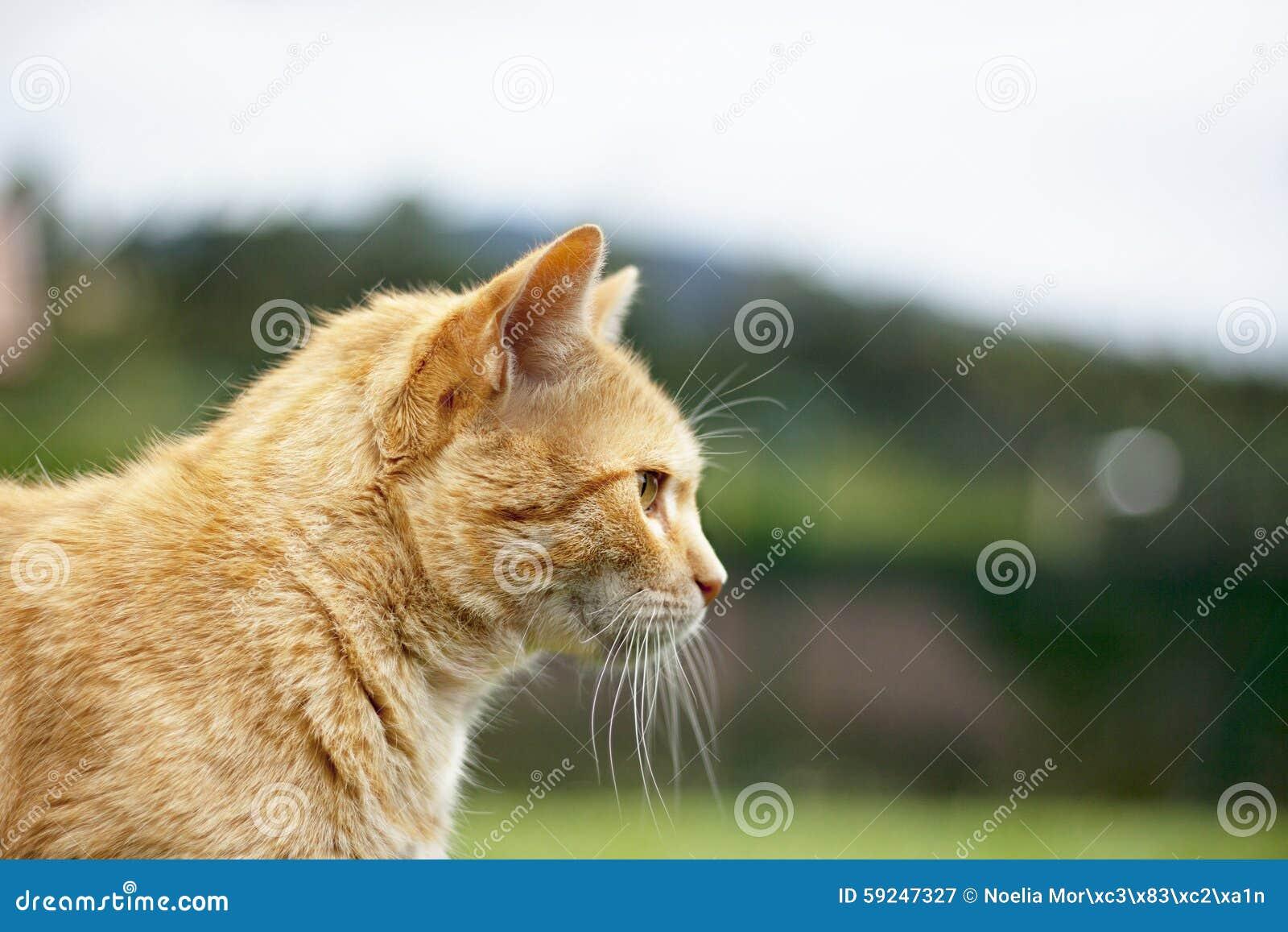 Померанцовый кот