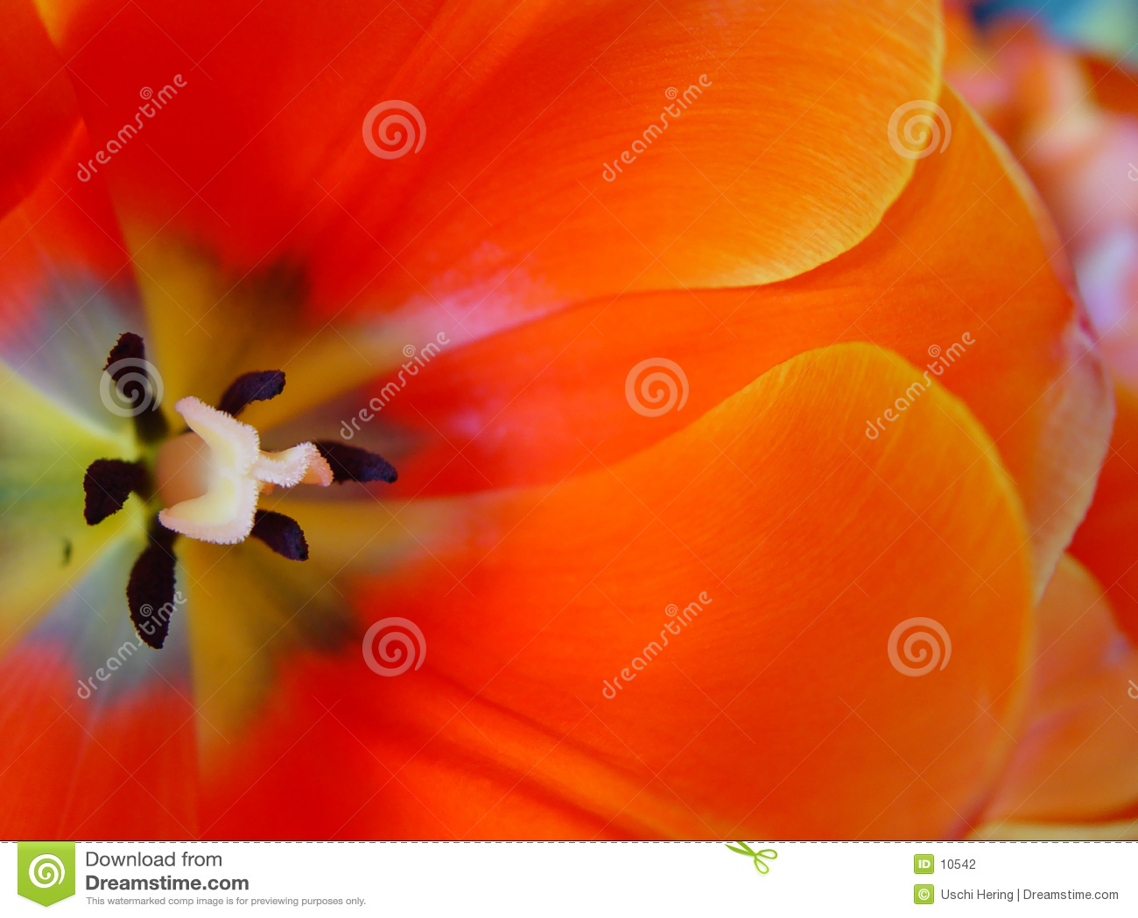померанцовый тюльпан
