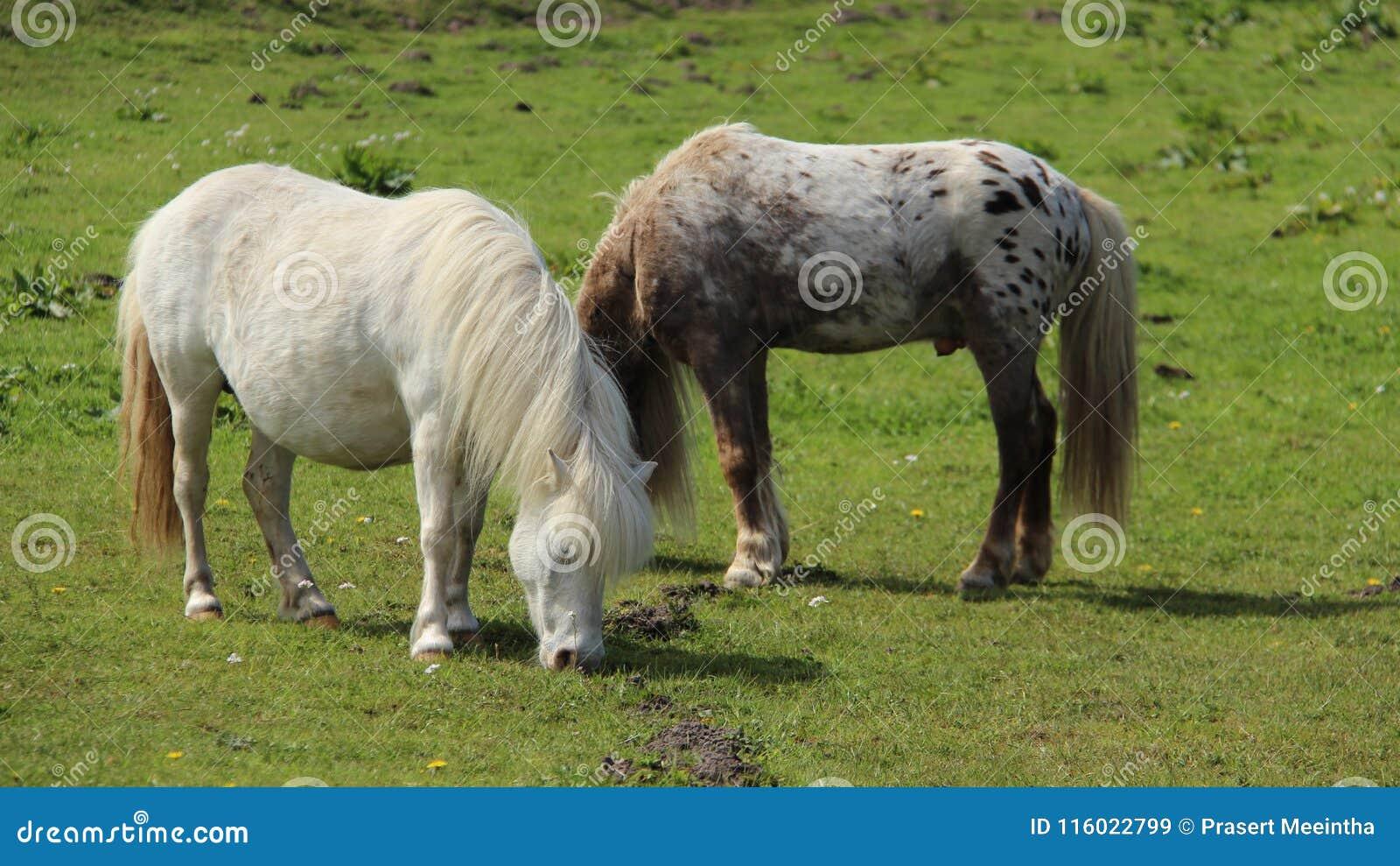 Пони пасет и ослабляет на зеленых полях