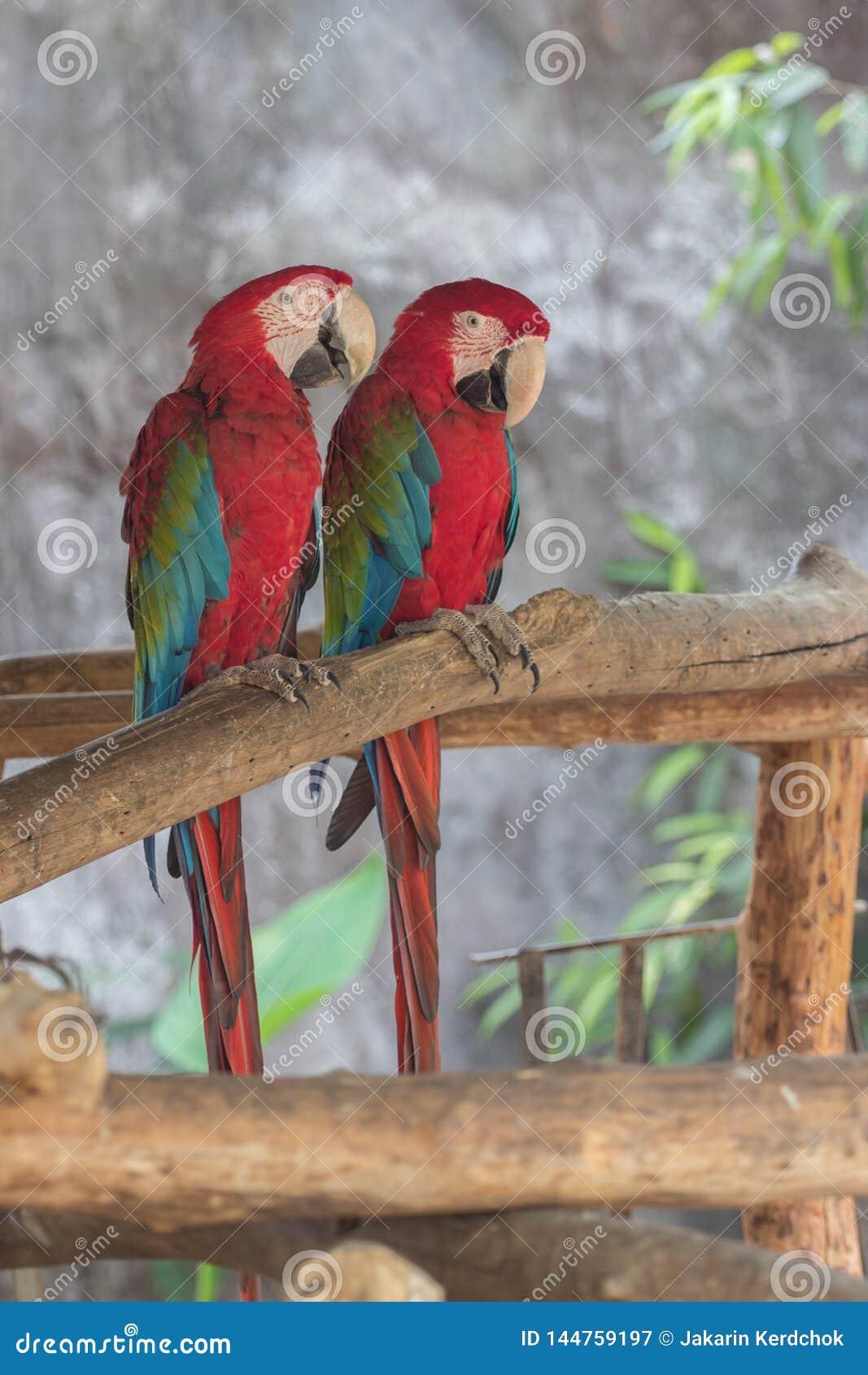 Попугаи ары шарлаха на ветвях