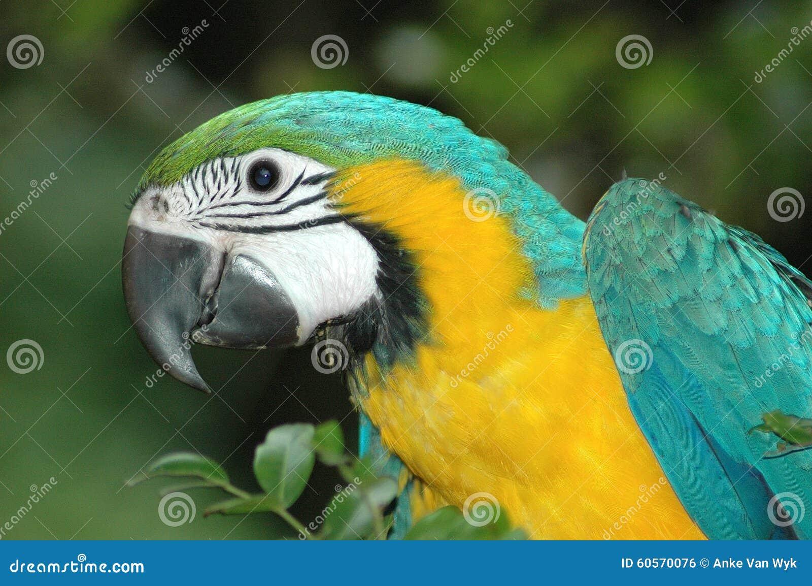 Попугай ары