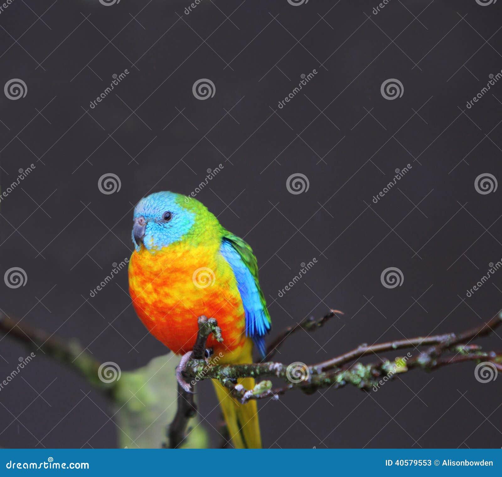 Попугай бирюзы