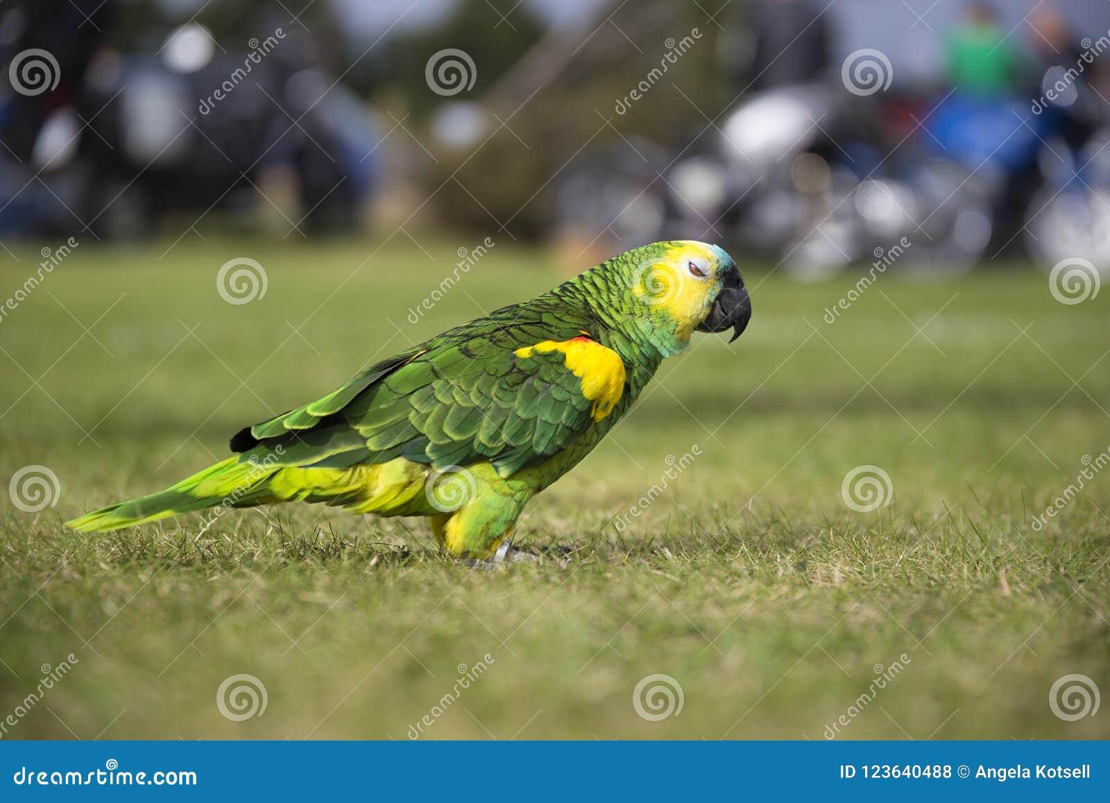 Попугай гуляя на поле травы