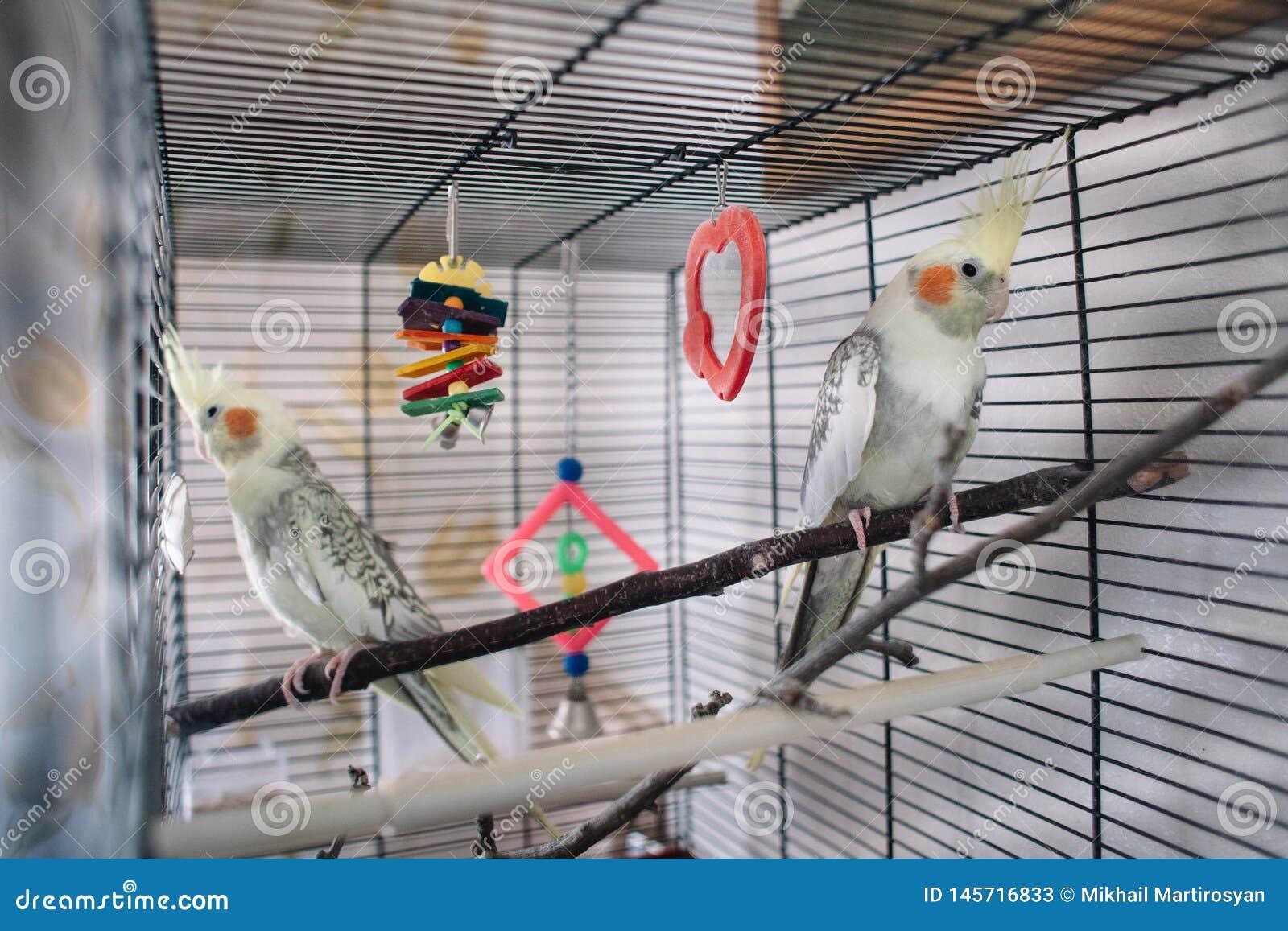 Попугай пар красивый белый в клетке