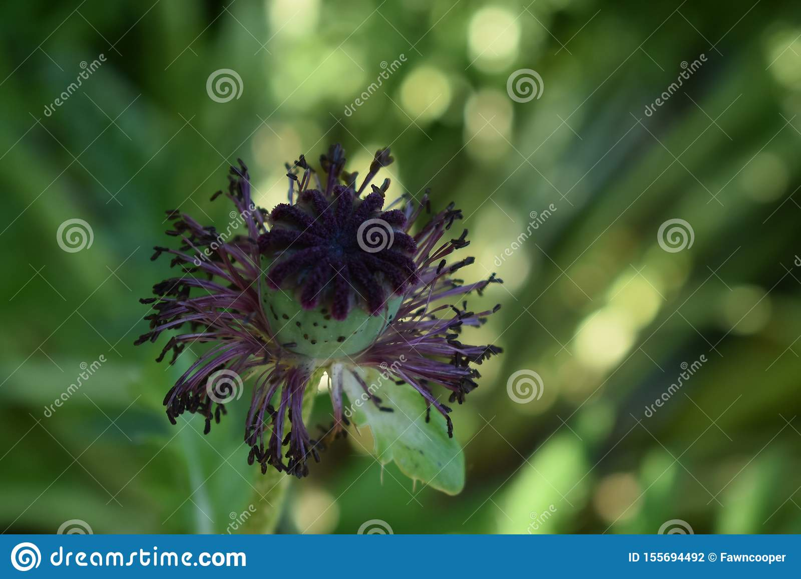Порожный цветок мака с зеленой предпосылкой