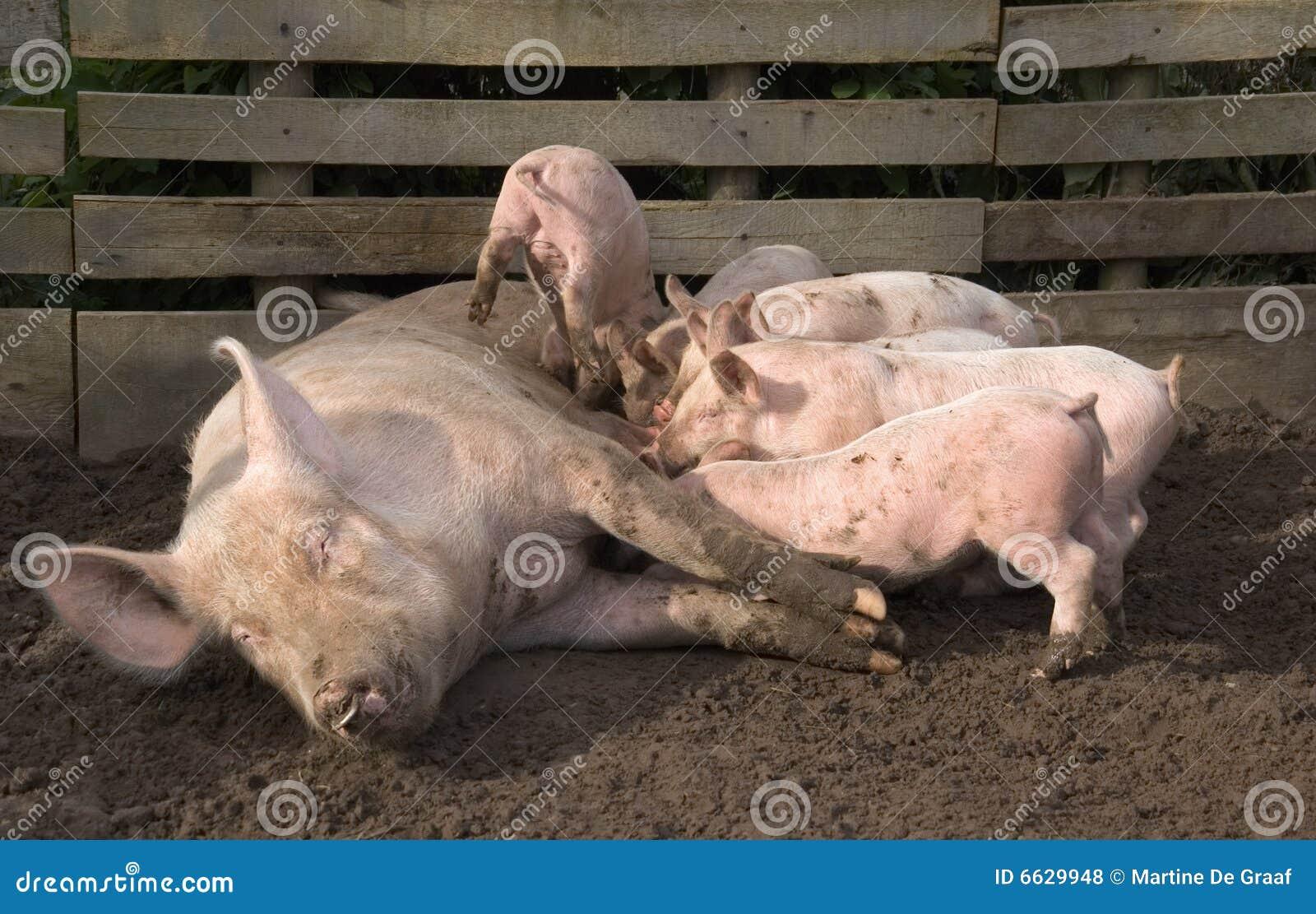 поросята свиньи