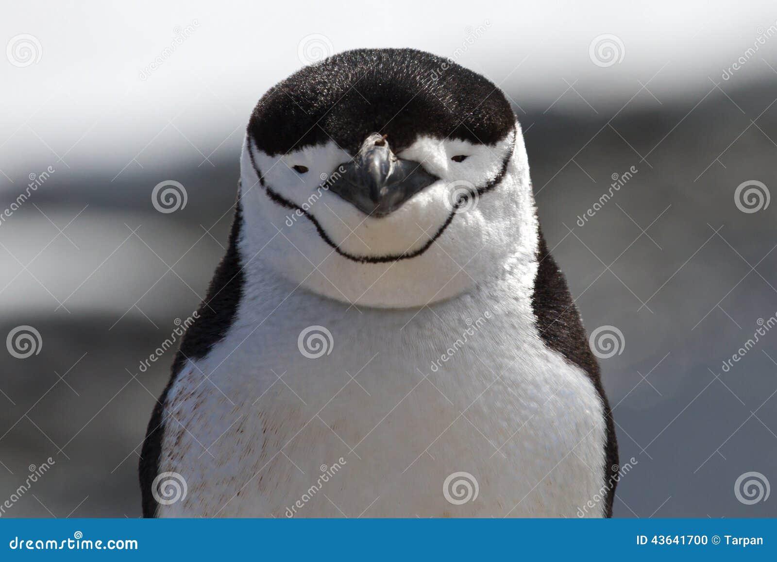 Портрет антартического пингвина Chinstrap или антартического лета
