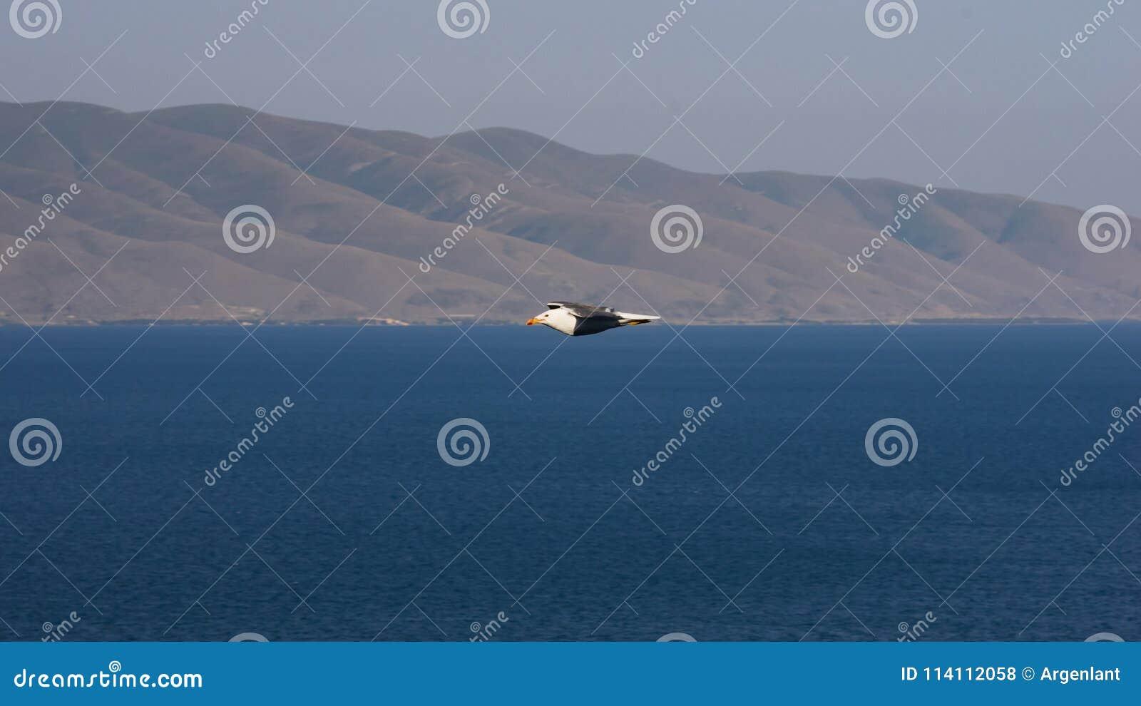 Портрет армянских чайки или armenicus над запачканным озером Sevan, селективного фокуса Larus, отмелого DOF