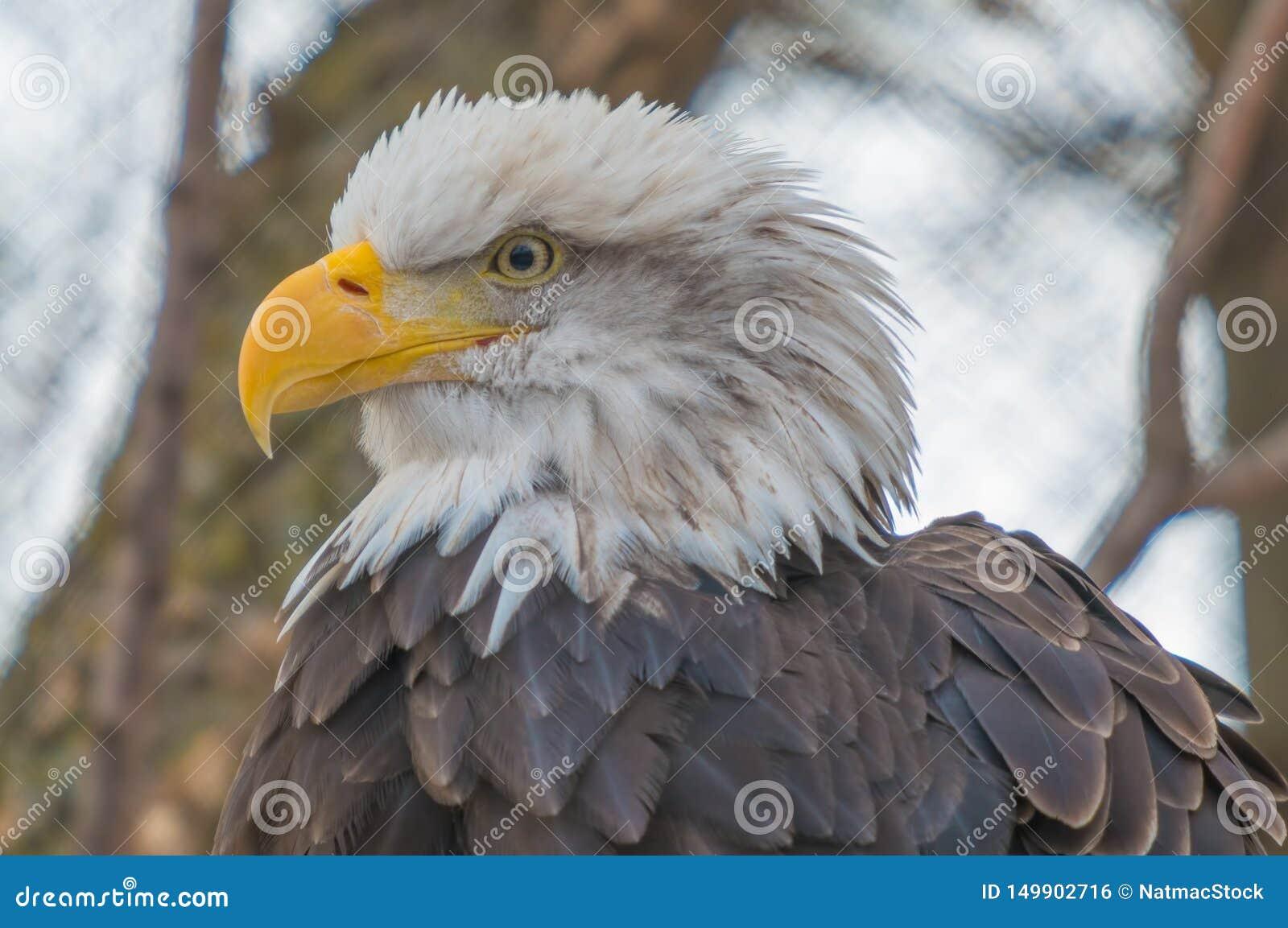 Портрет белоголового орлана принятый на зоопарк