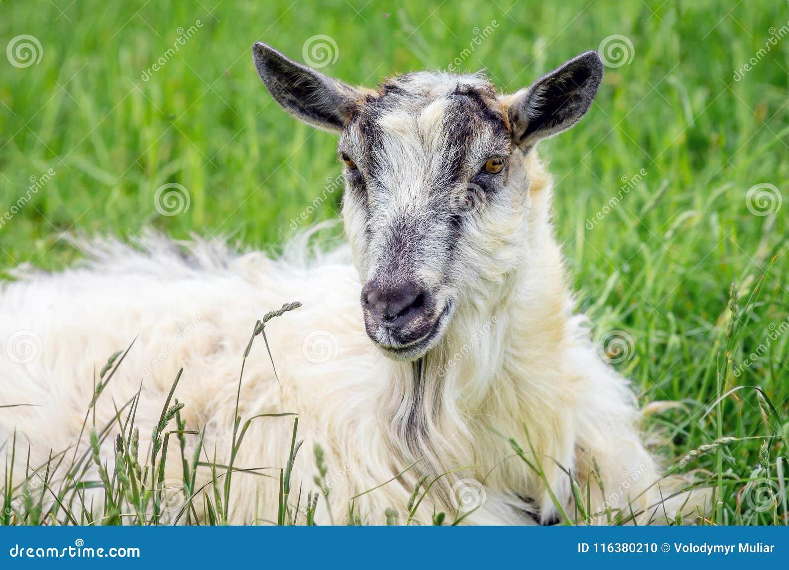 Портрет белой козы против предпосылки зеленой травы отечественно