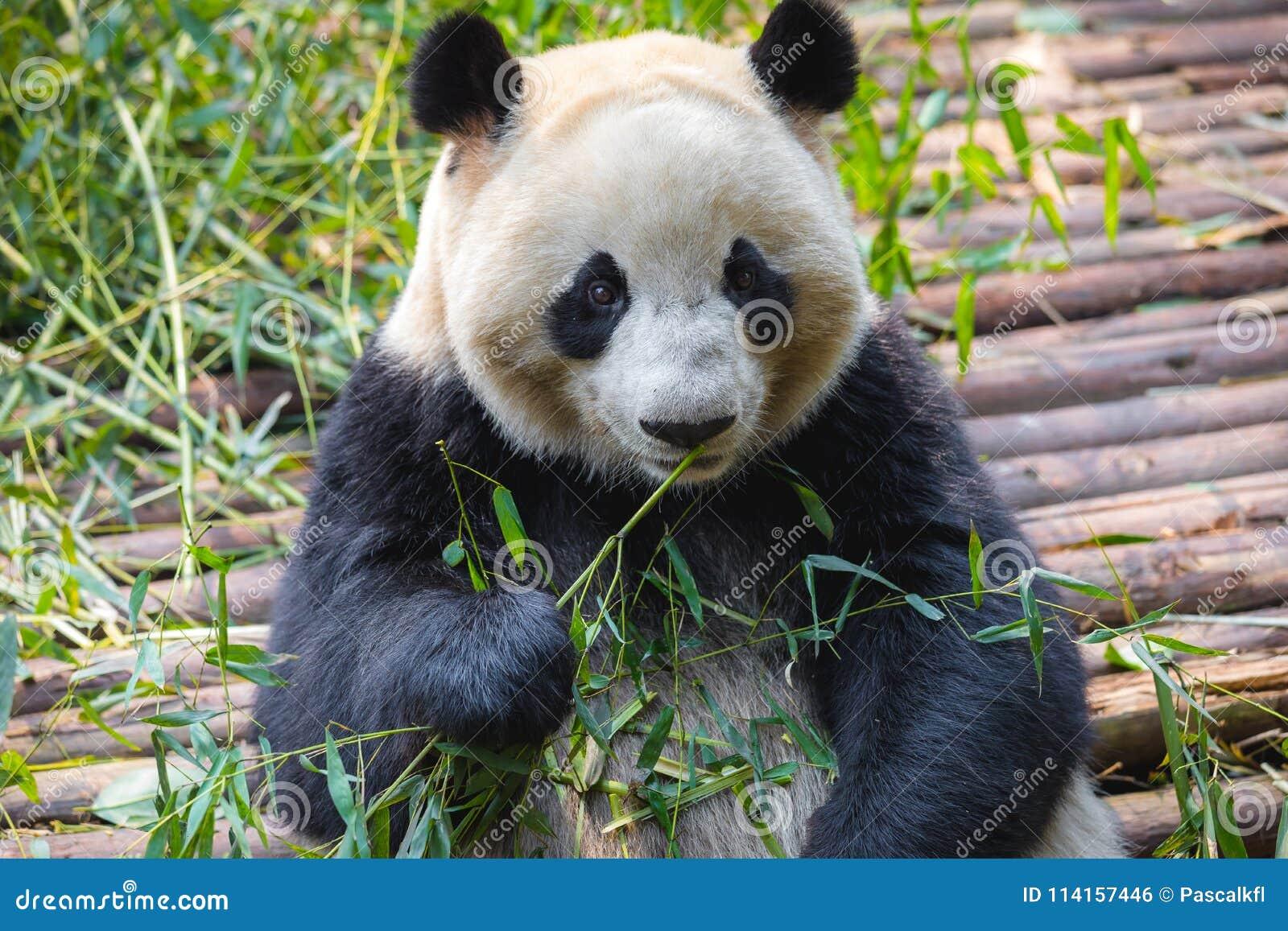 Портрет гигантской панды есть бамбук