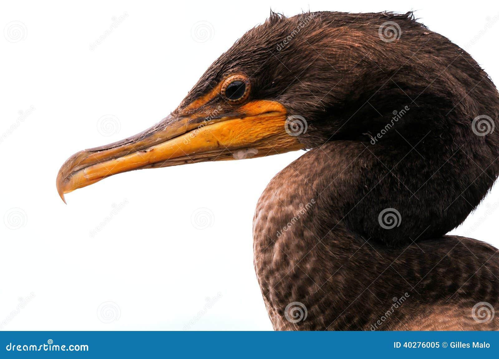 Портрет Двух-crested баклана в заболоченном месте