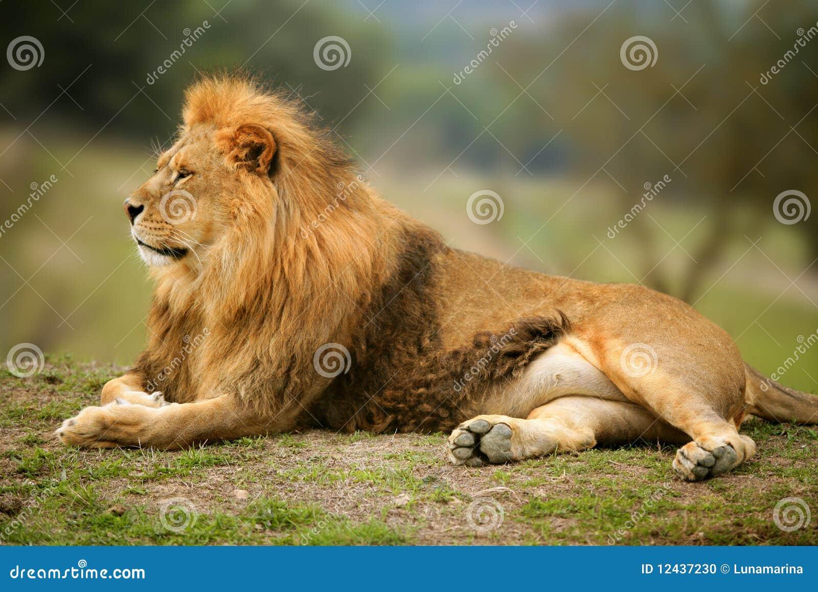 портрет животного красивейшего льва мыжской одичалый