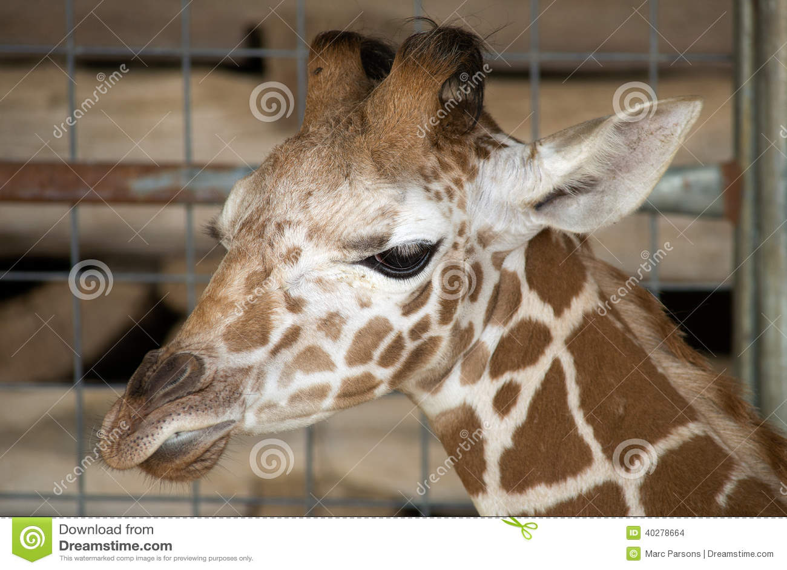 Портрет жирафа младенца