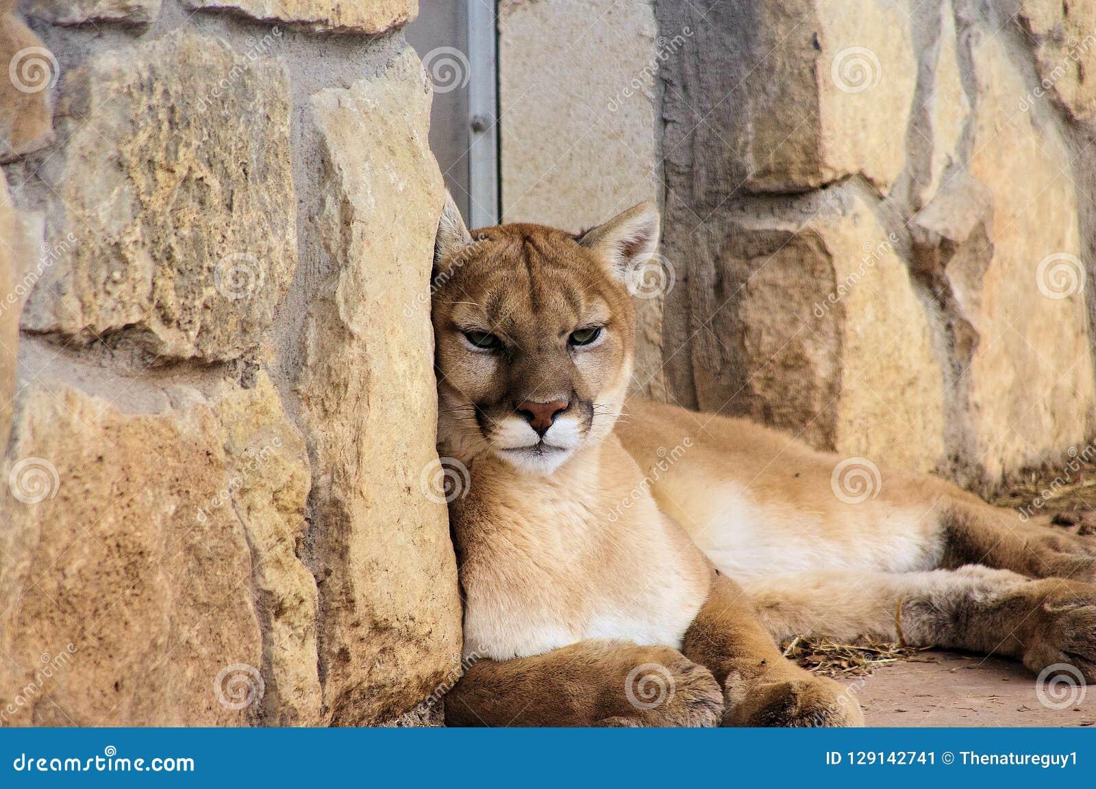 Портрет конца-вверх льва горы пумы