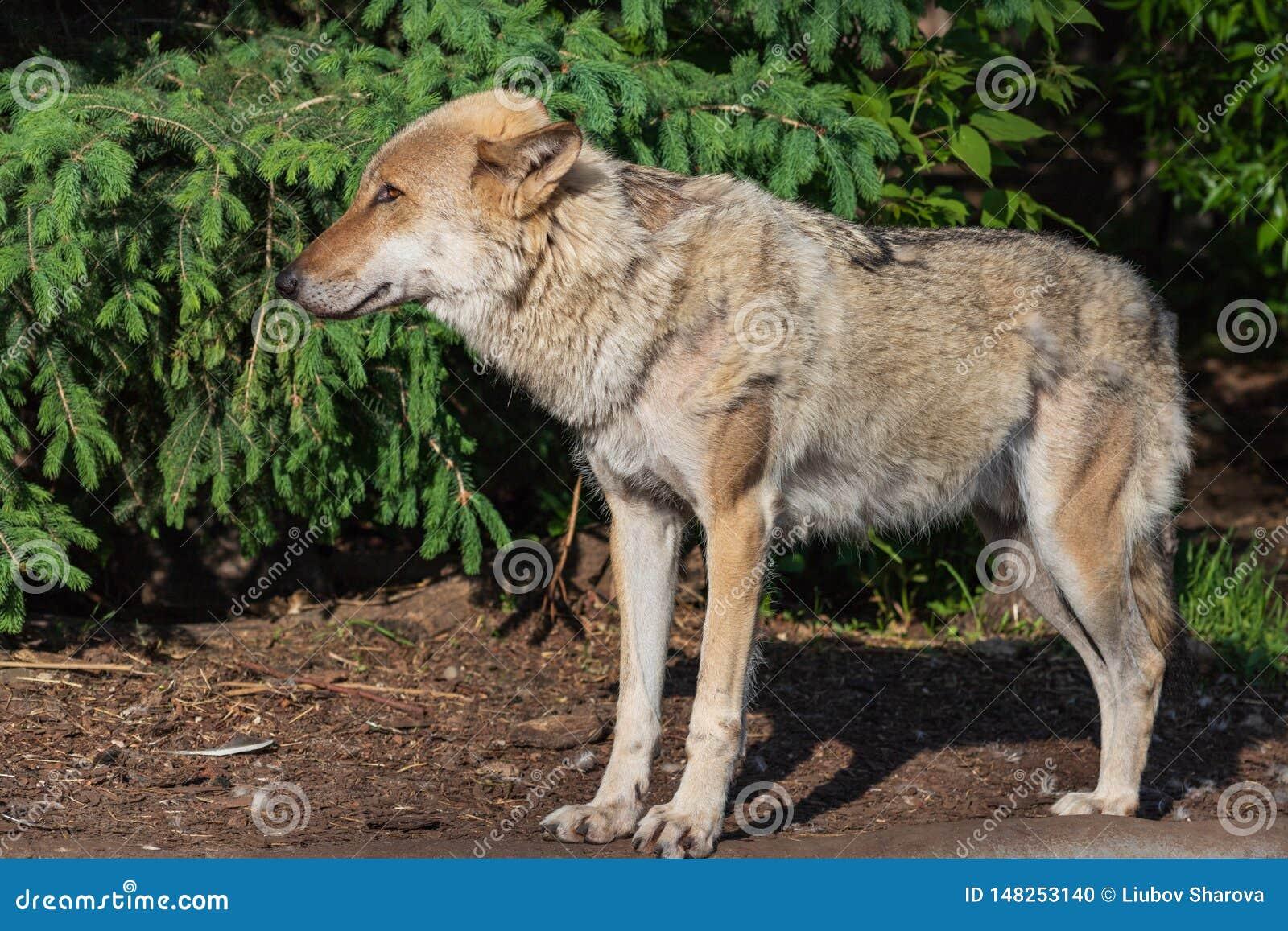 Портрет конца-вверх серого волка