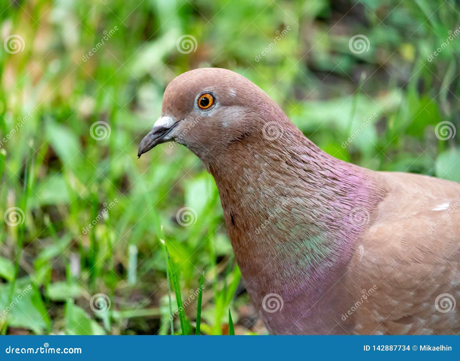 Портрет коричневого голубя в зеленой траве