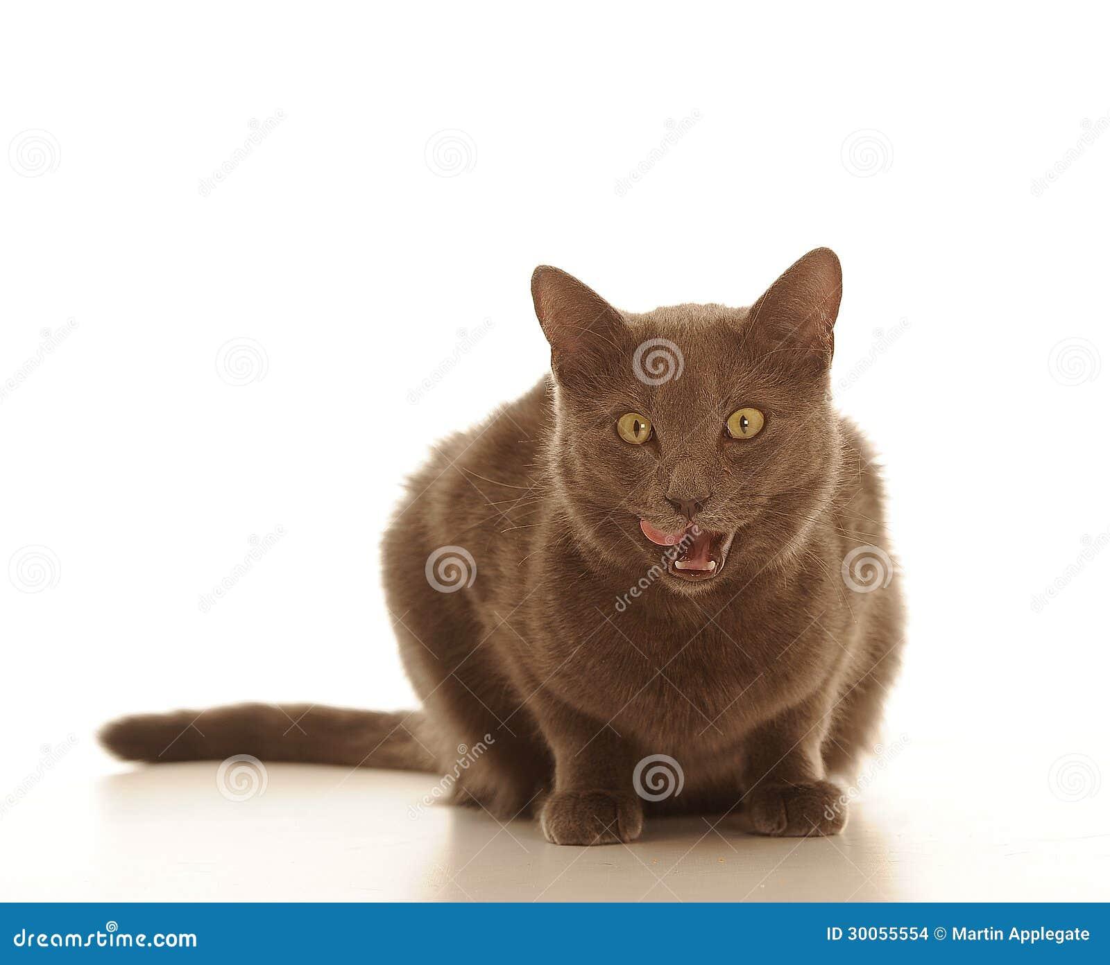 Коты с коричневой шерстью