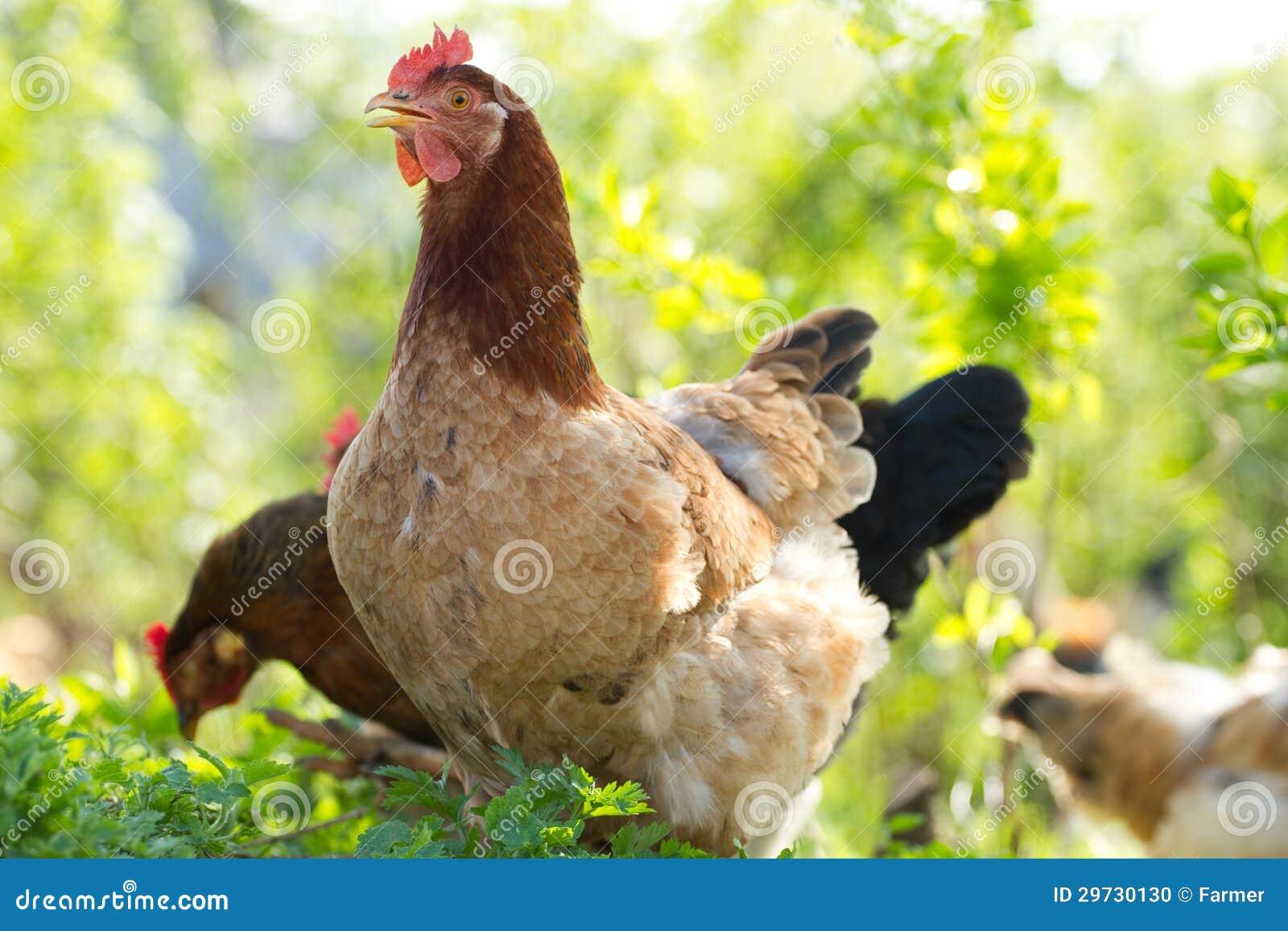 Цыпленок портрета