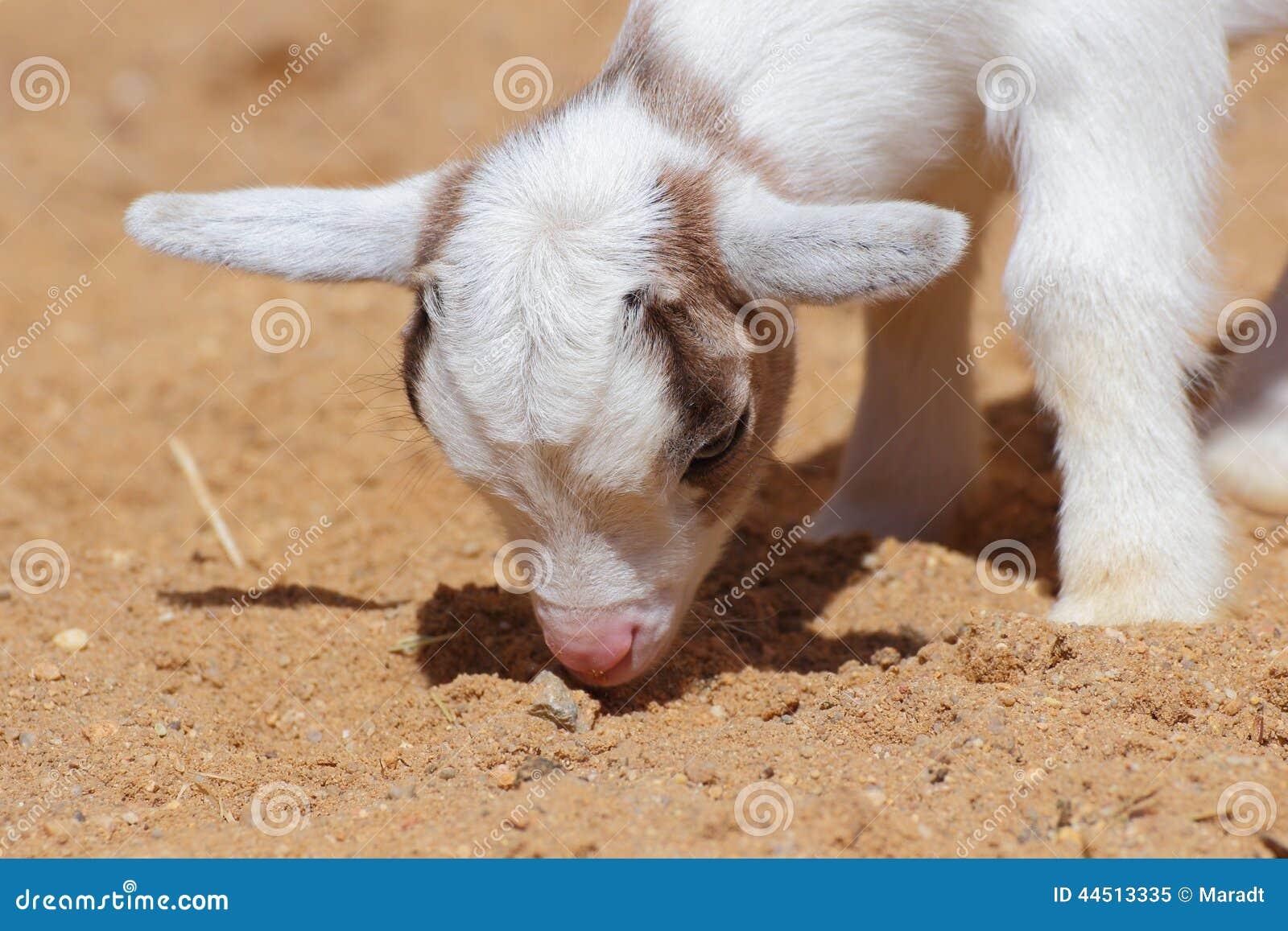 Портрет крупного плана козы ребенк