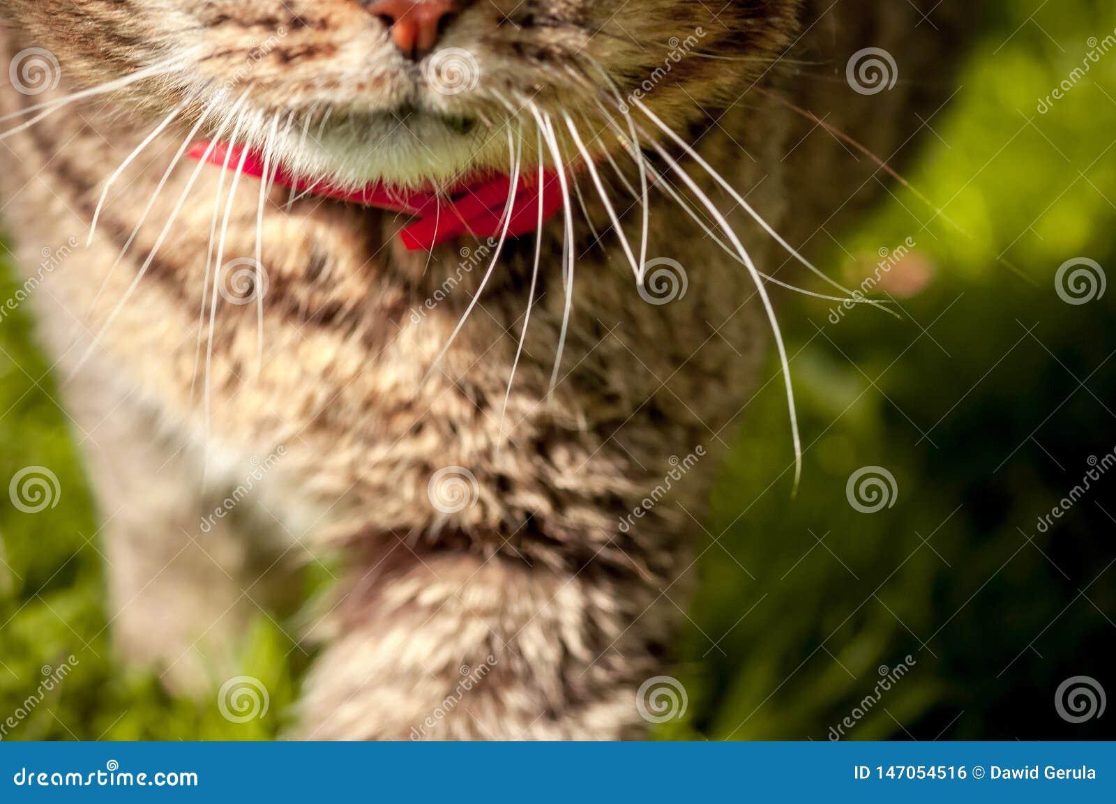 Портрет макроса с выборочным фокусом рта и вискеров домашней кошки