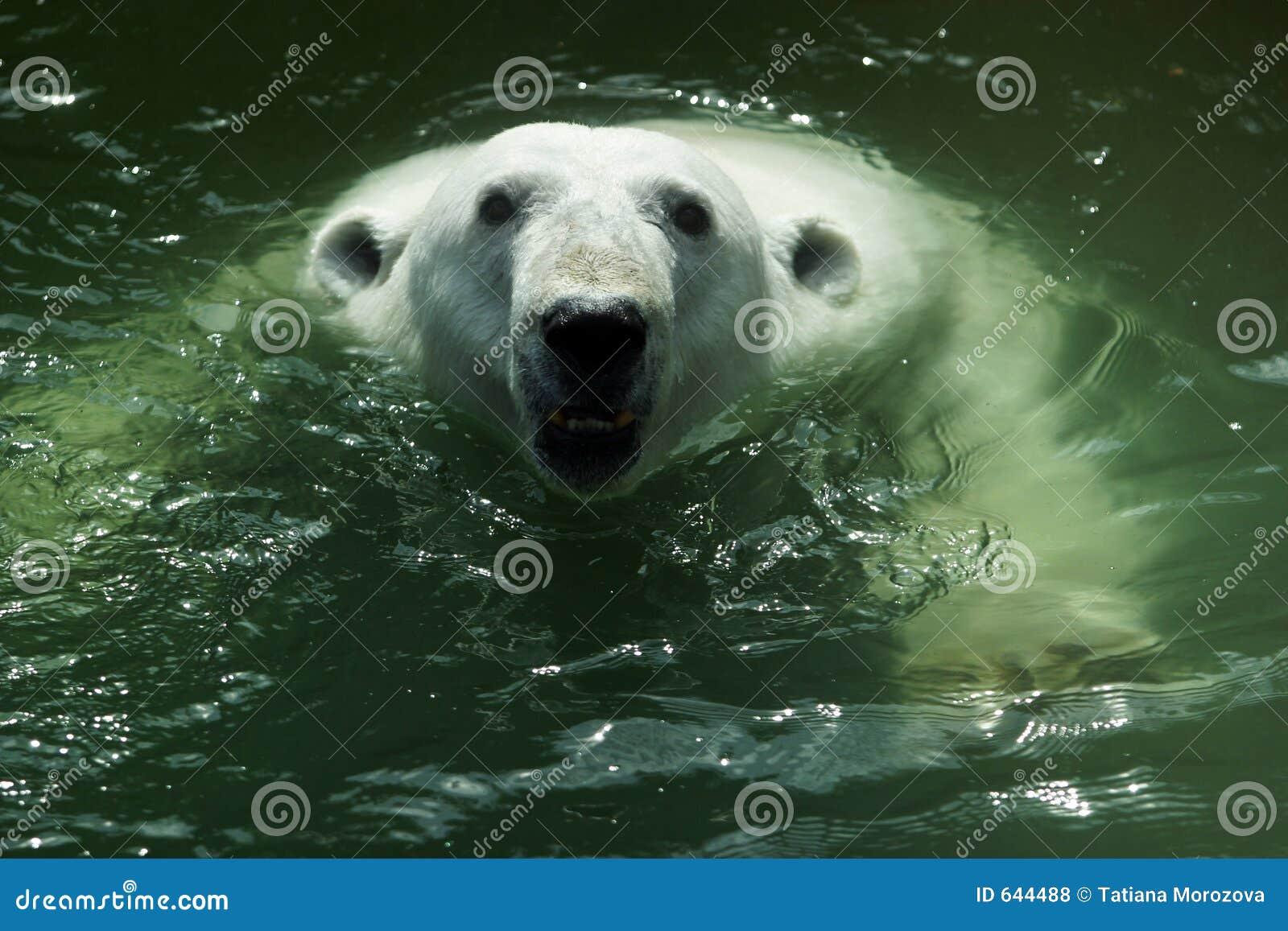 Download портрет медведя приполюсный Иллюстрация штока - иллюстрации насчитывающей представление, рот: 644488