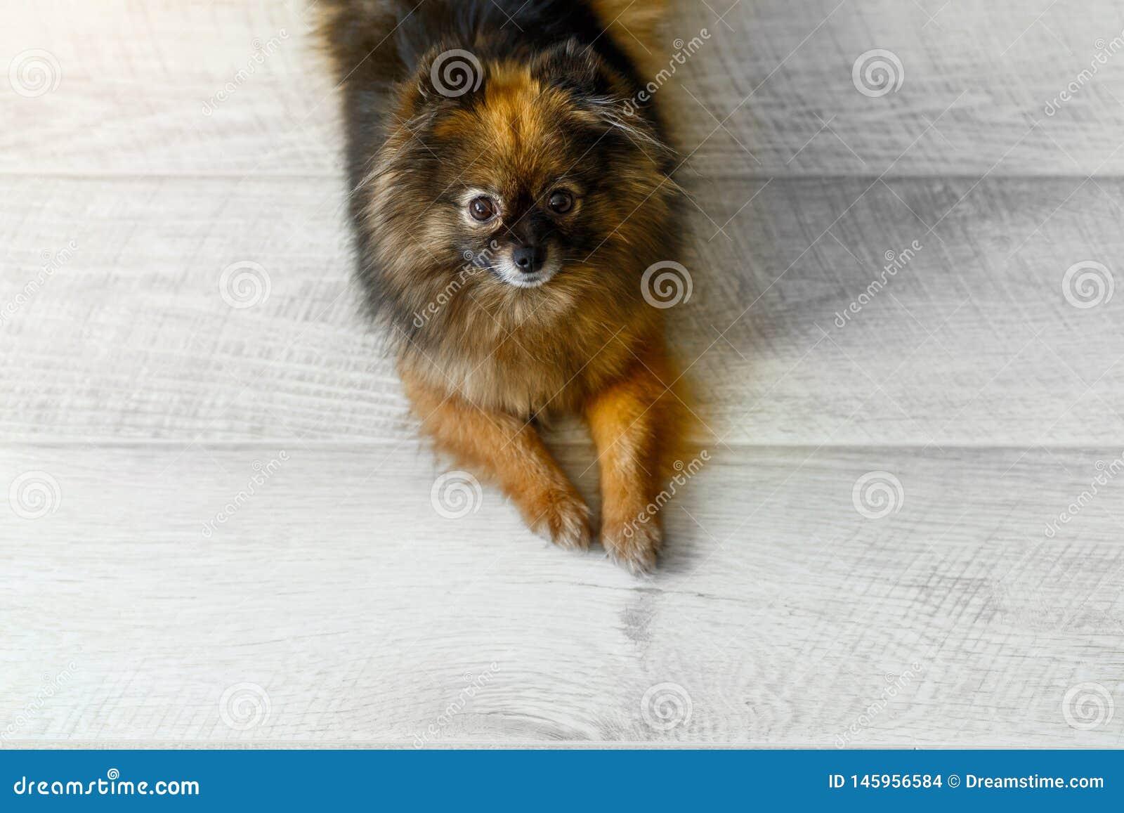 Портрет милого шпица маленькой собаки сидит на поле, космосе для текста или статье r