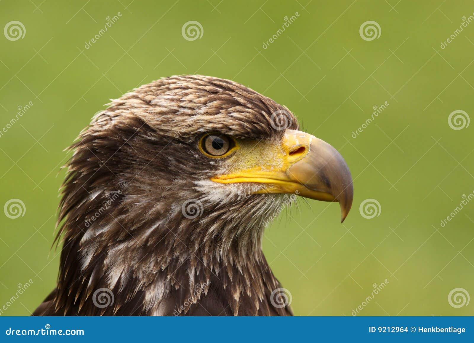 Портрет молодого облыселого орла