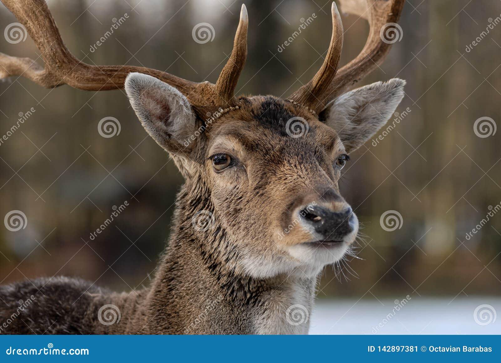 Портрет оленей в лесе с расплывчатой предпосылкой