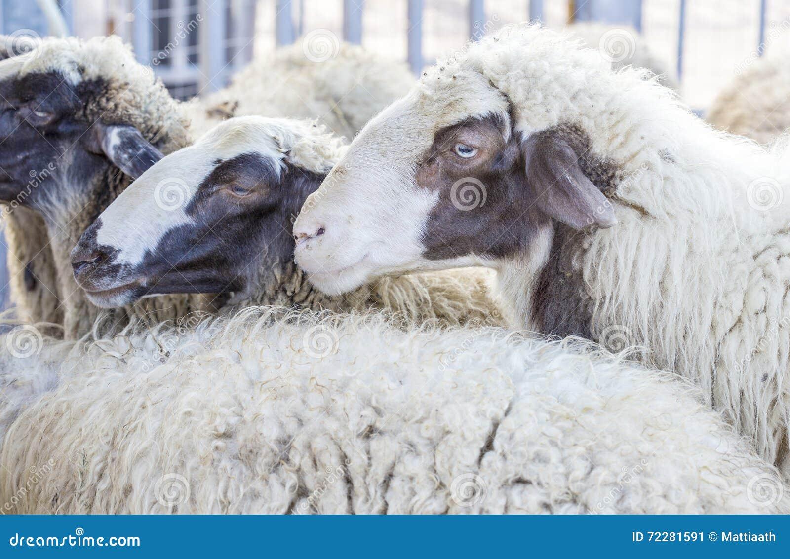 Download Портрет отечественной овцы стоковое изображение. изображение насчитывающей mammal - 72281591