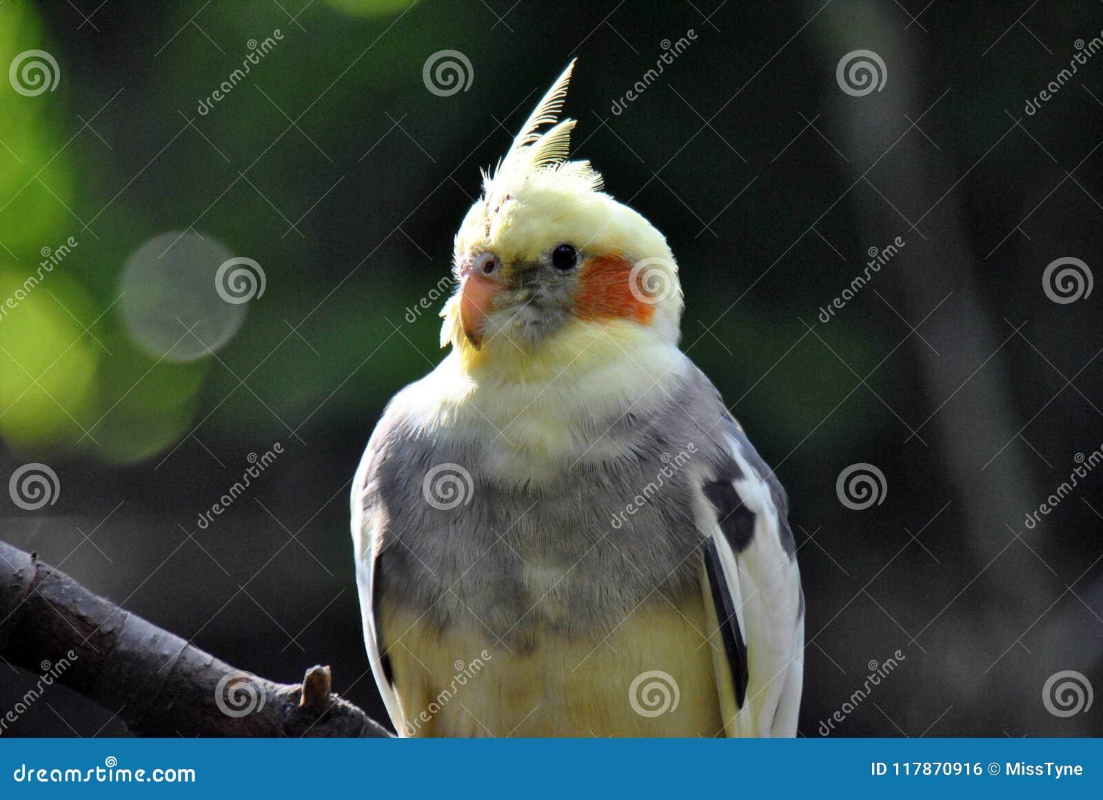 Портрет птицы cockatiel