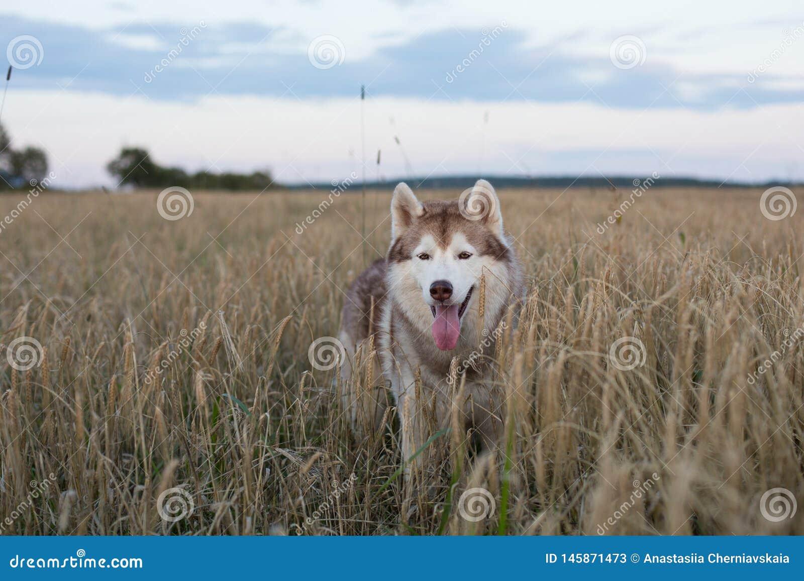 Портрет свободной и милой сибирской сиплой собаки с коричневыми глазами стоя в рож на заходе солнца