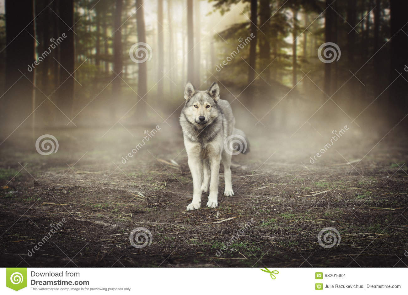 Портрет серого волка - рассвет леса плененного животного волшебный