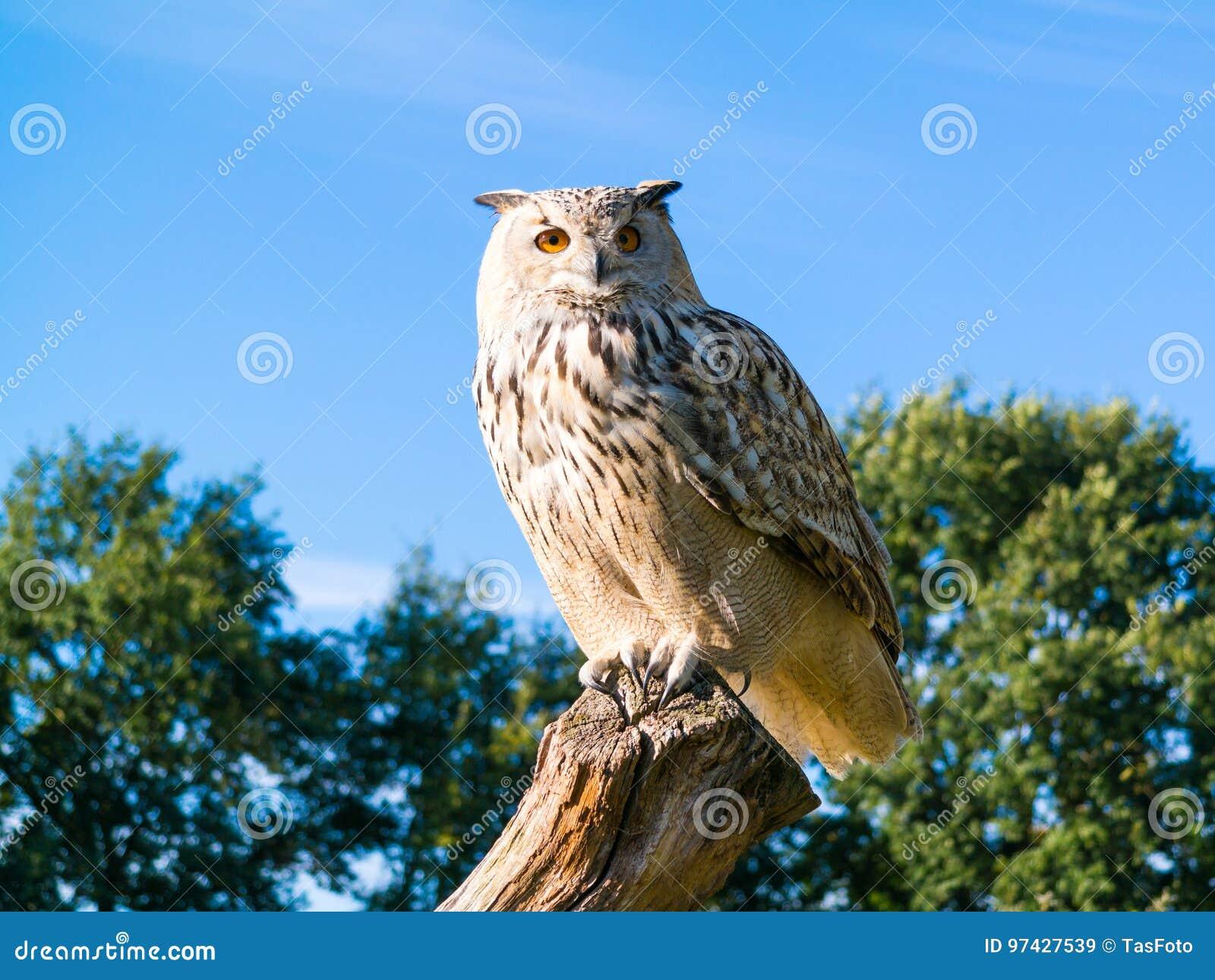 Портрет сибирского сыча орла, sibiricus Bubo Bubo, садясь на насест дальше