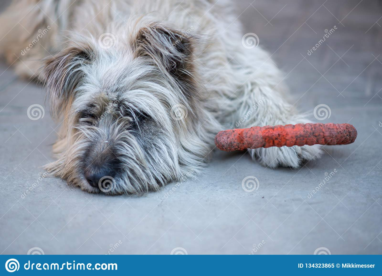 Портрет сиротливой меховой собаки briard кладя на конкретную мостовую