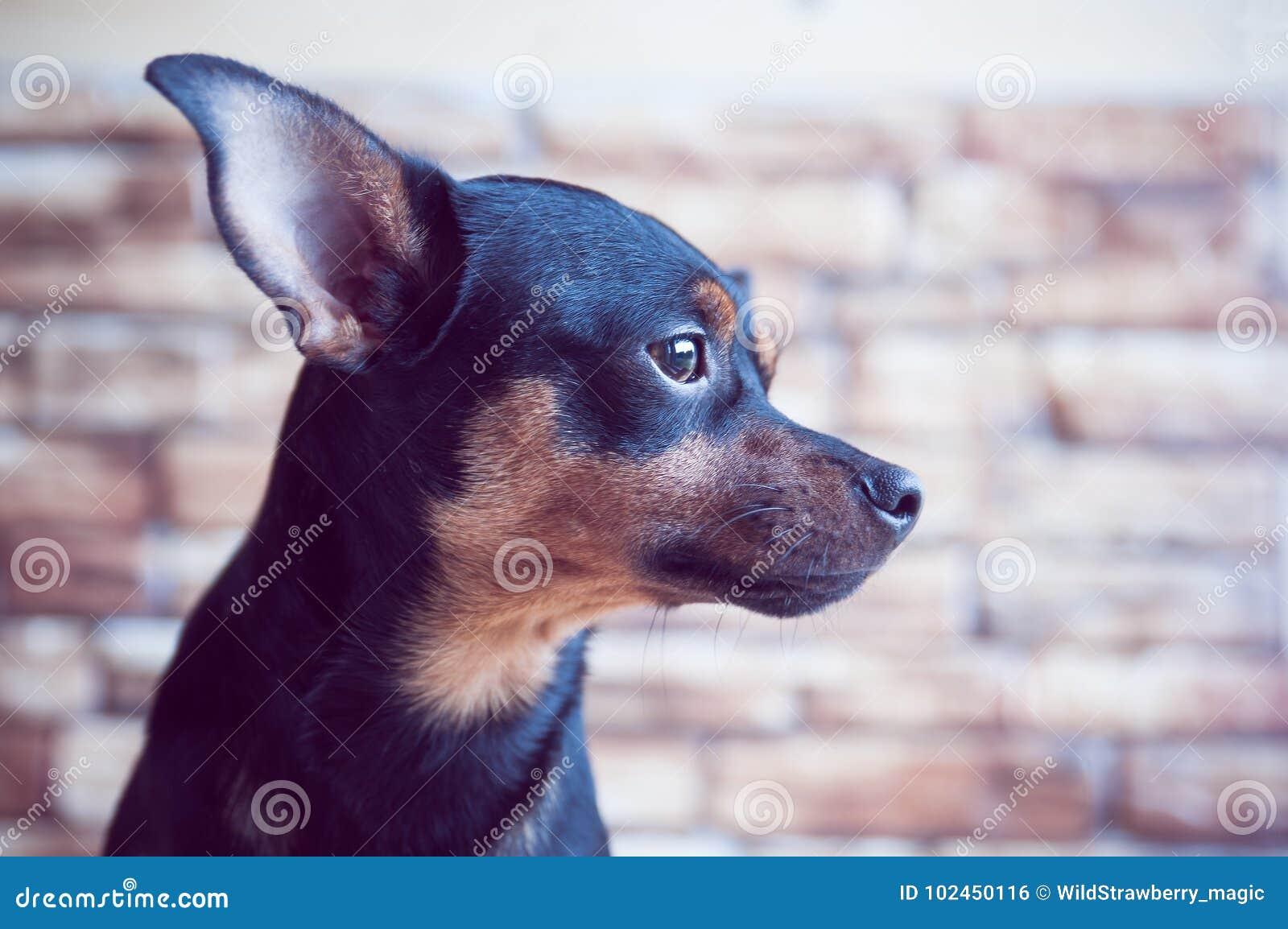 Портрет собаки в профиле против предпосылки кирпичной стены, собака ждет предпринимателя на окне