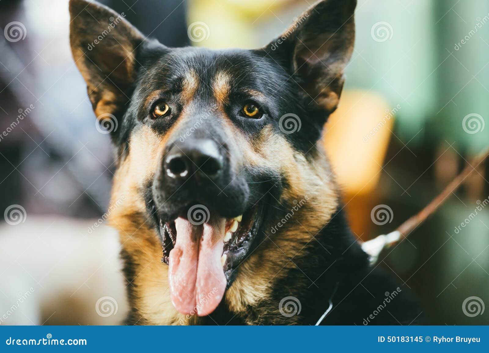 Портрет собаки немецкой овчарки крытый